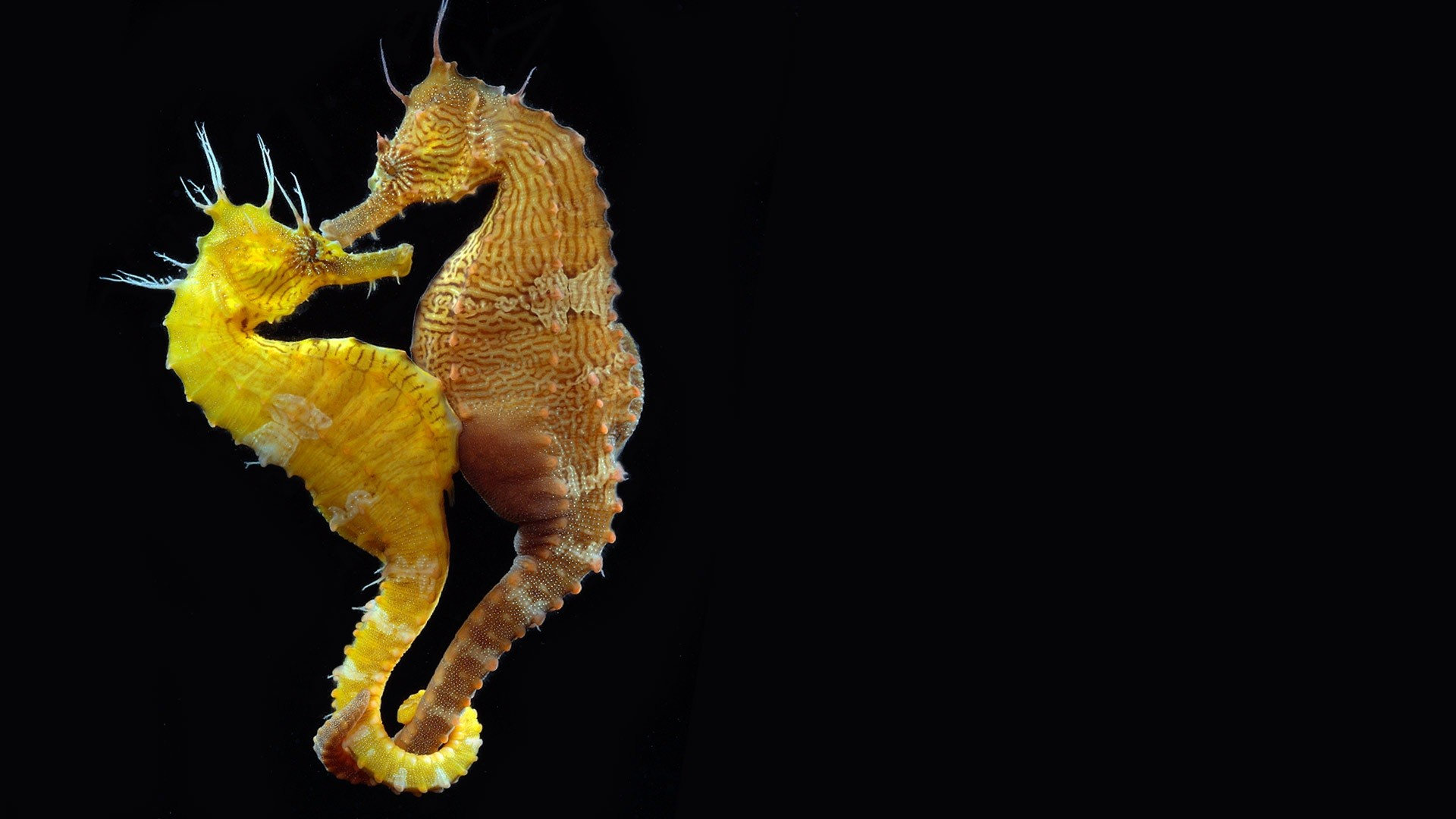 Res: 1920x1080, Lined Seahorse image Wallpaper
