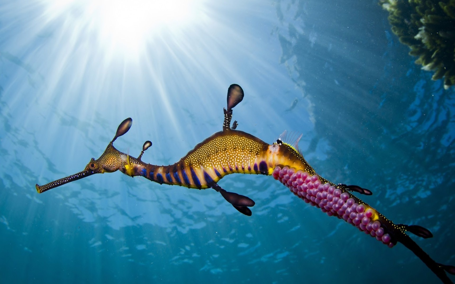 Res: 1920x1200, Seahorse Pictures