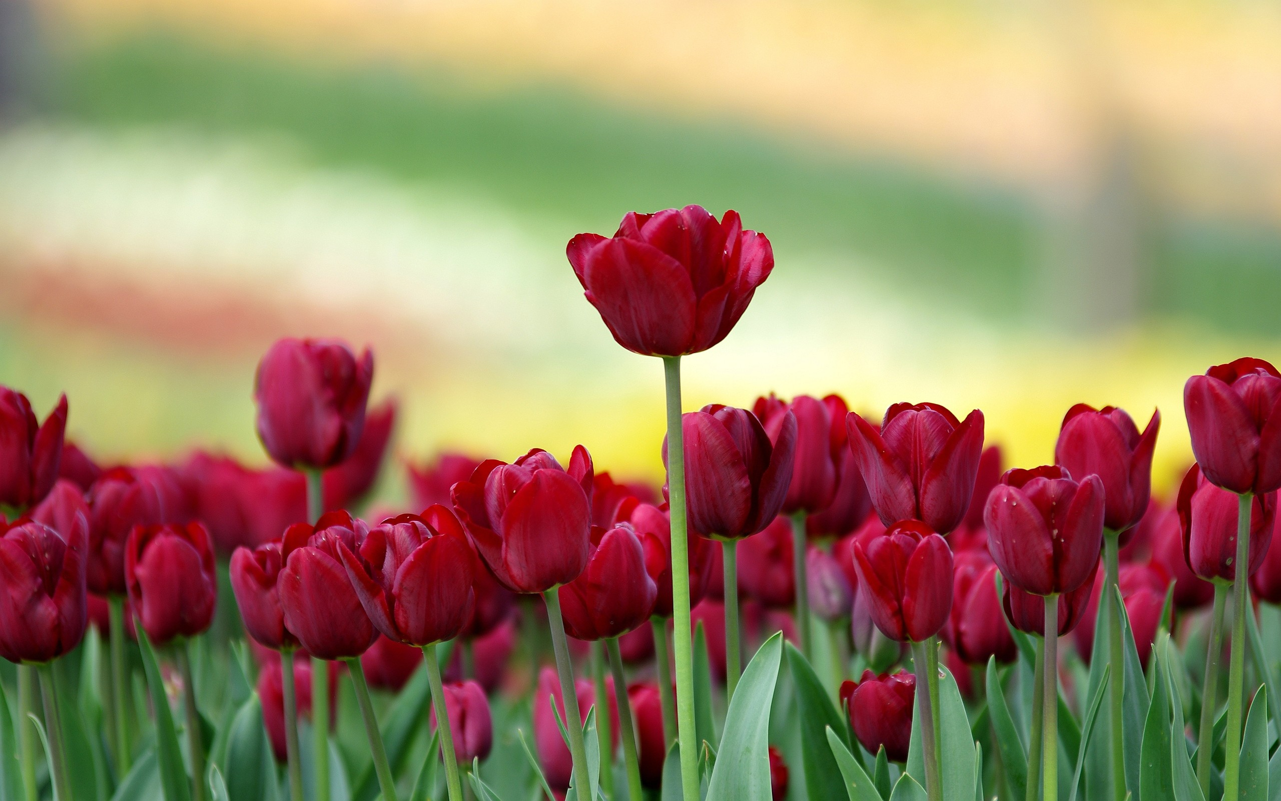 Res: 2560x1600, Red Tulip Flowers Hd Wallpapers Backgrounds