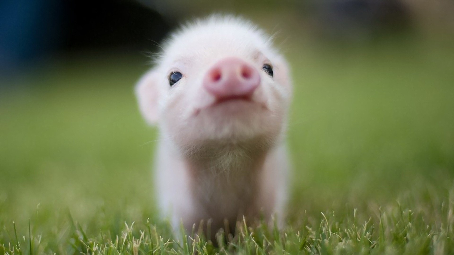 Res: 1920x1080, HD Wallpaper   Background Image ID:235985.  Animal Pig
