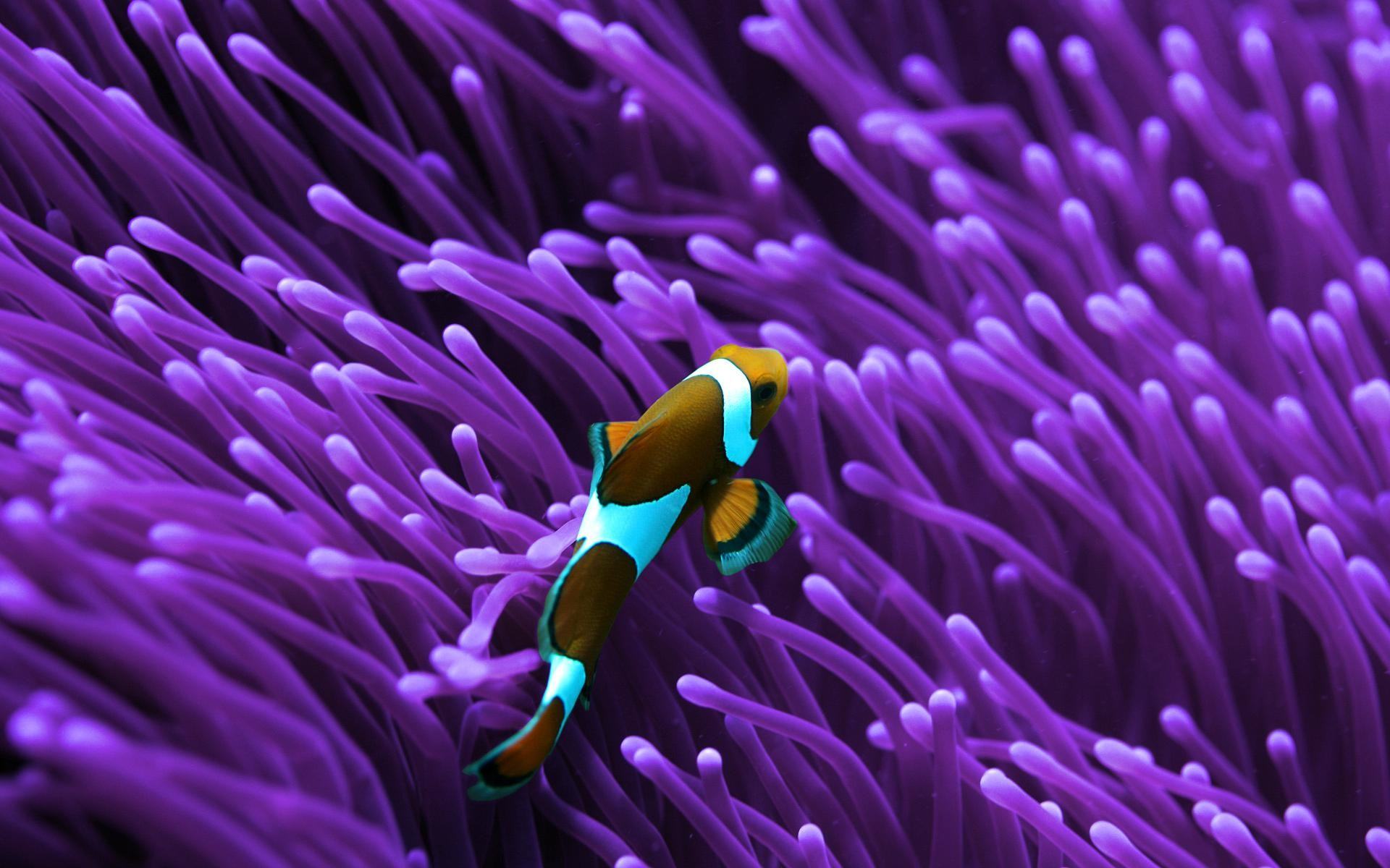 Res: 1920x1200, Clown Fish and Anemone.