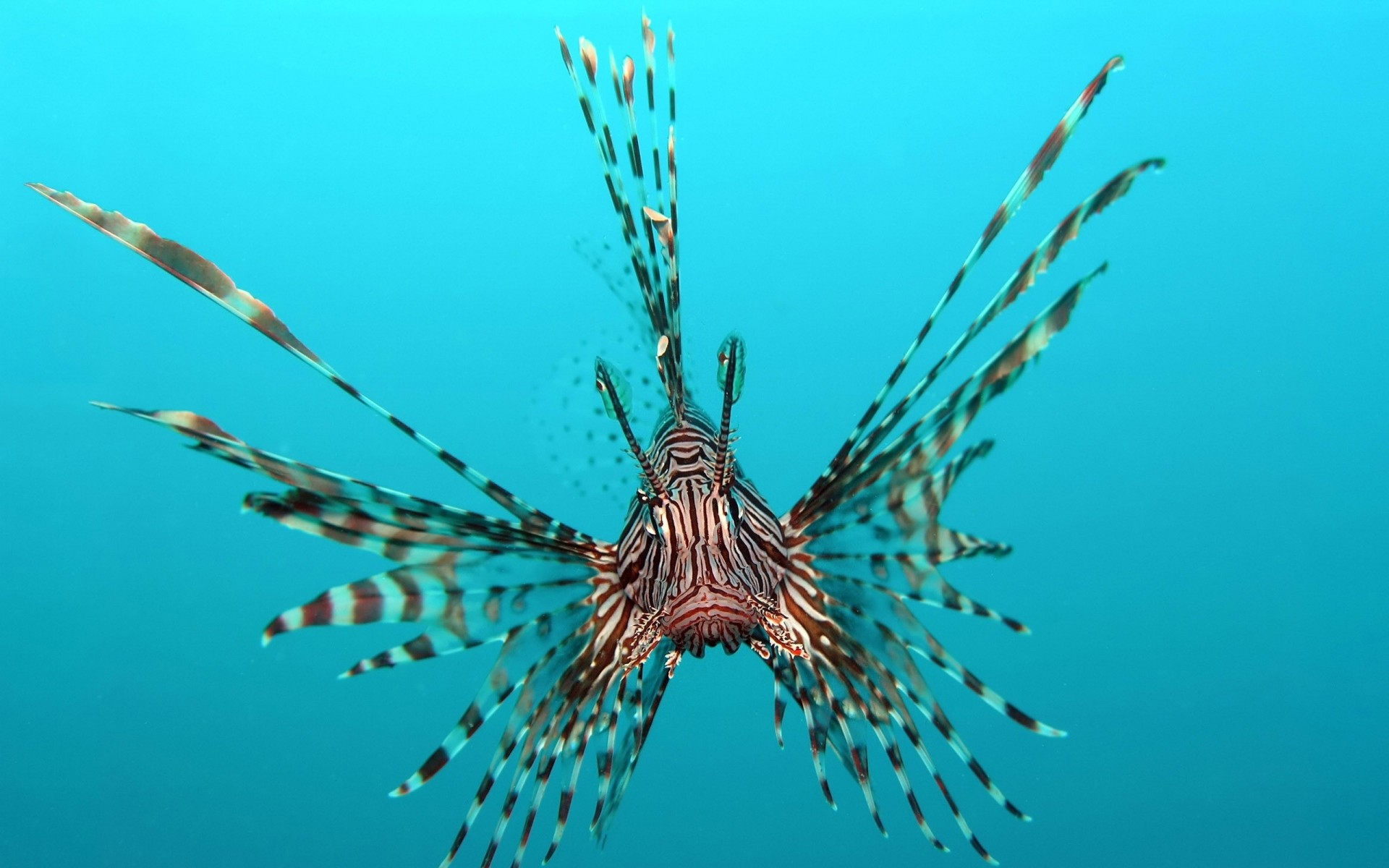 Res: 1920x1200, Lionfish animals fishes underwater sea ocean tropical water swim fins  wallpaper |  | 26649 | WallpaperUP