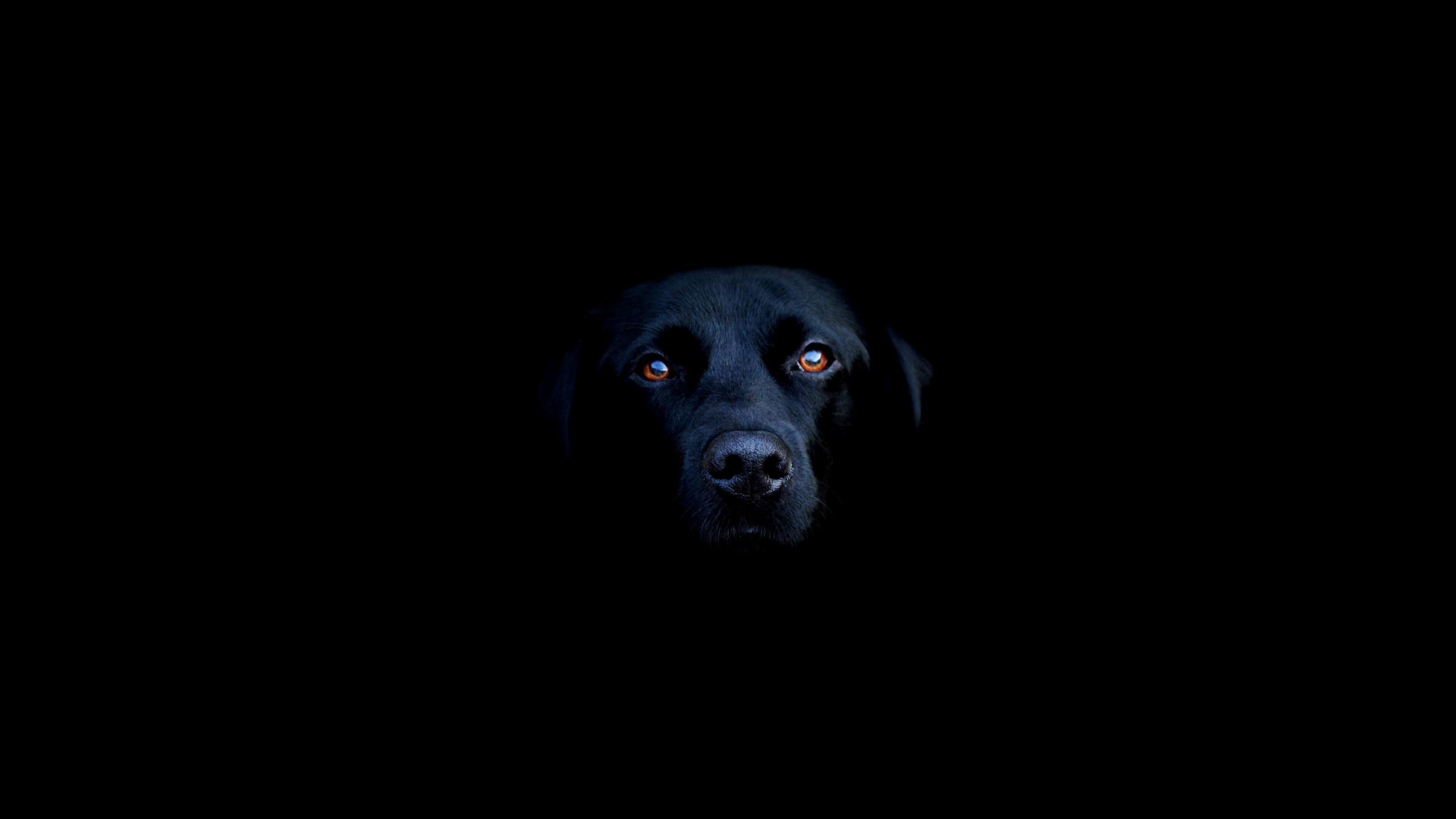 Res: 2560x1440, Animals / Black Labrador Wallpaper