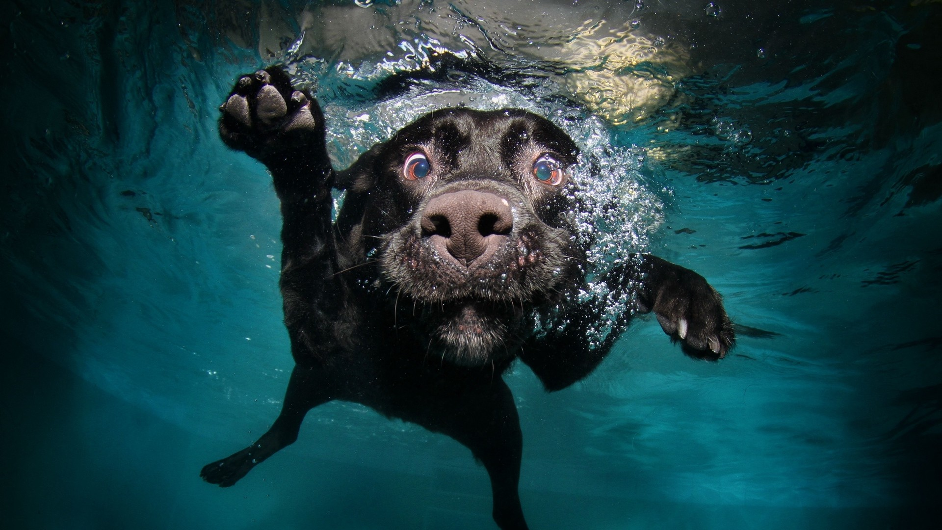 Res: 1920x1080,  Wallpaper dog, black, underwater, swimming, water
