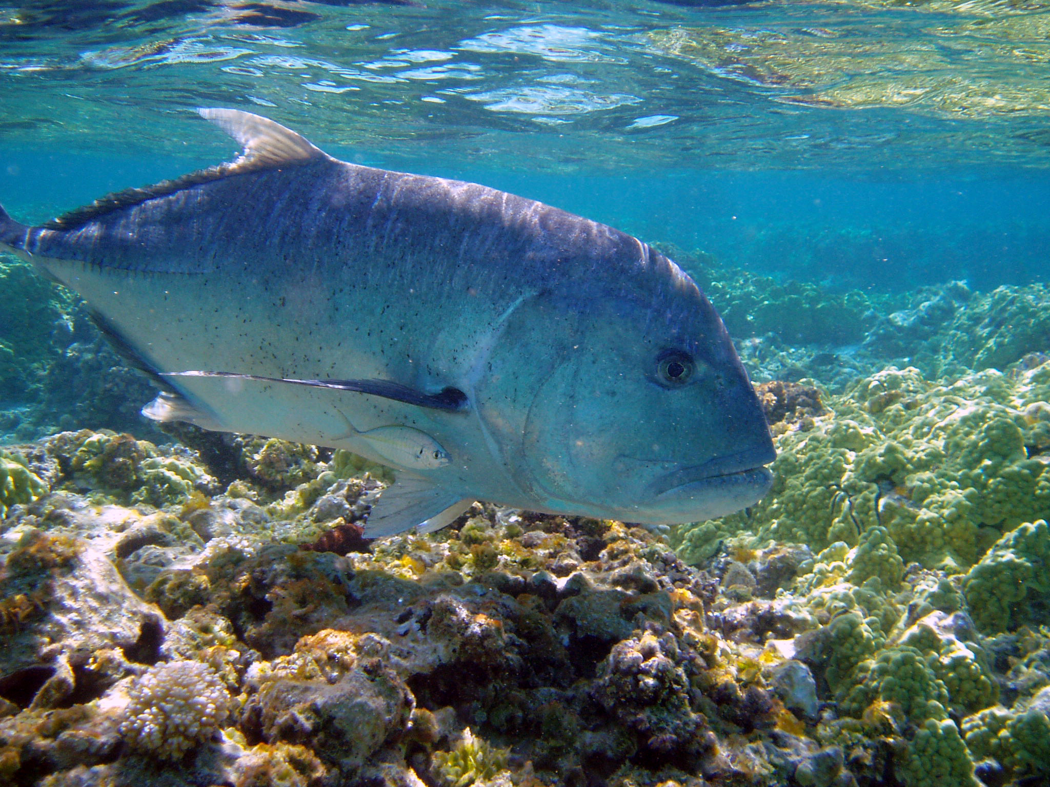 Res: 2048x1536, Giant trevally