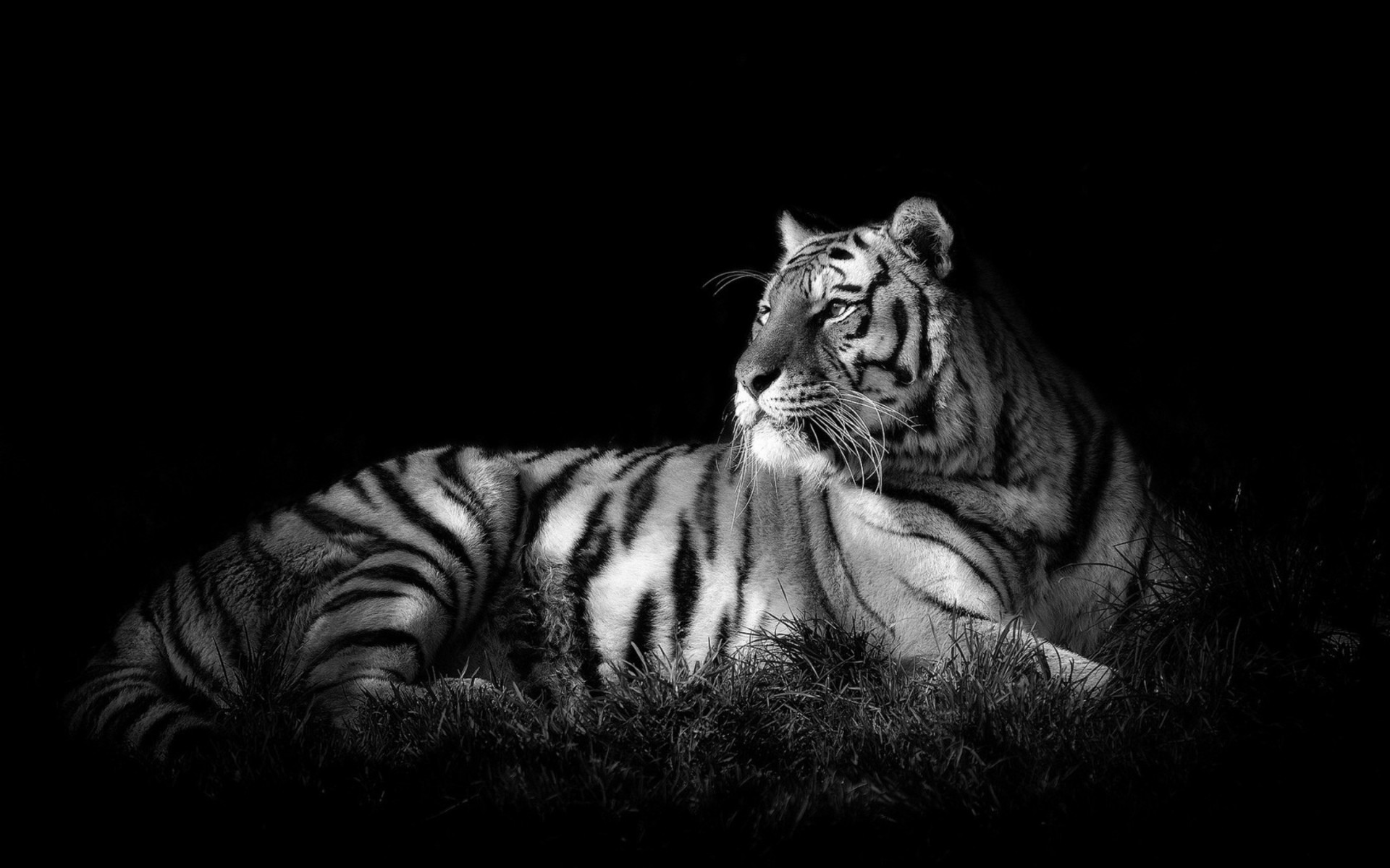 Res: 1920x1200, White Tiger Wide Wallpapers