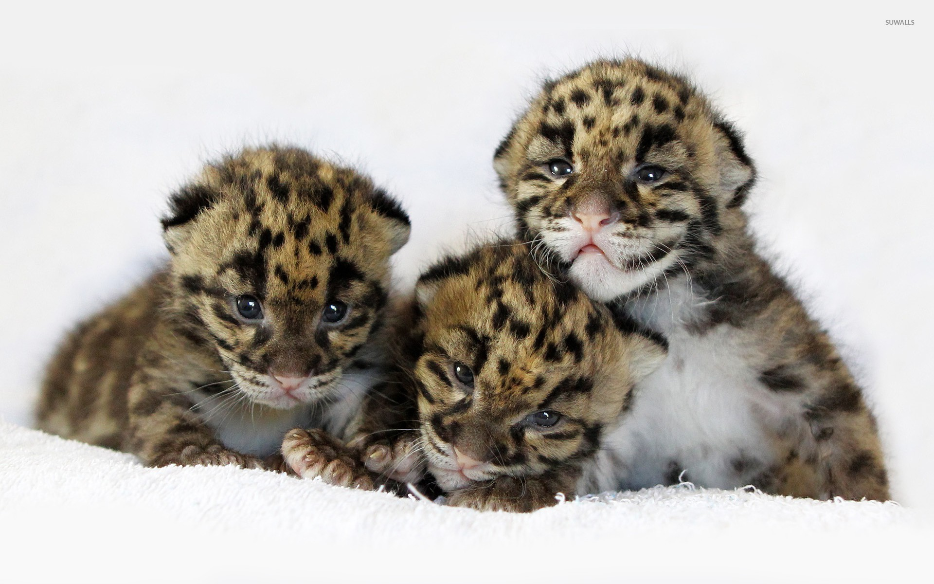 Res: 1920x1200, Tiger cubs [2] wallpaper  jpg