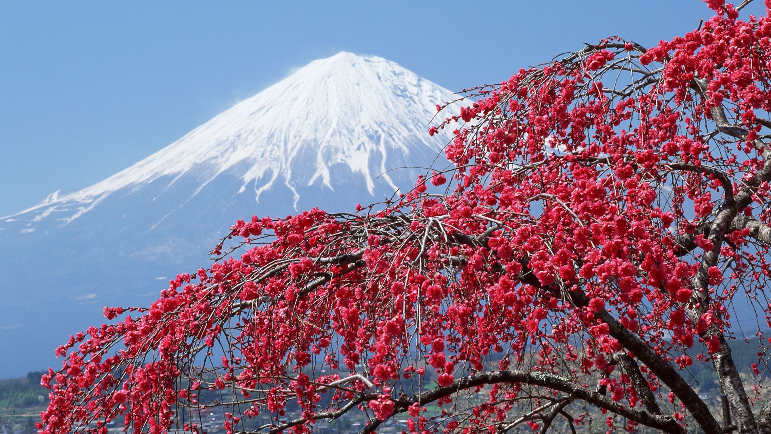 Res: 2560x1440, Earth - Mount Fuji Volcano Japan Blossom Wallpaper