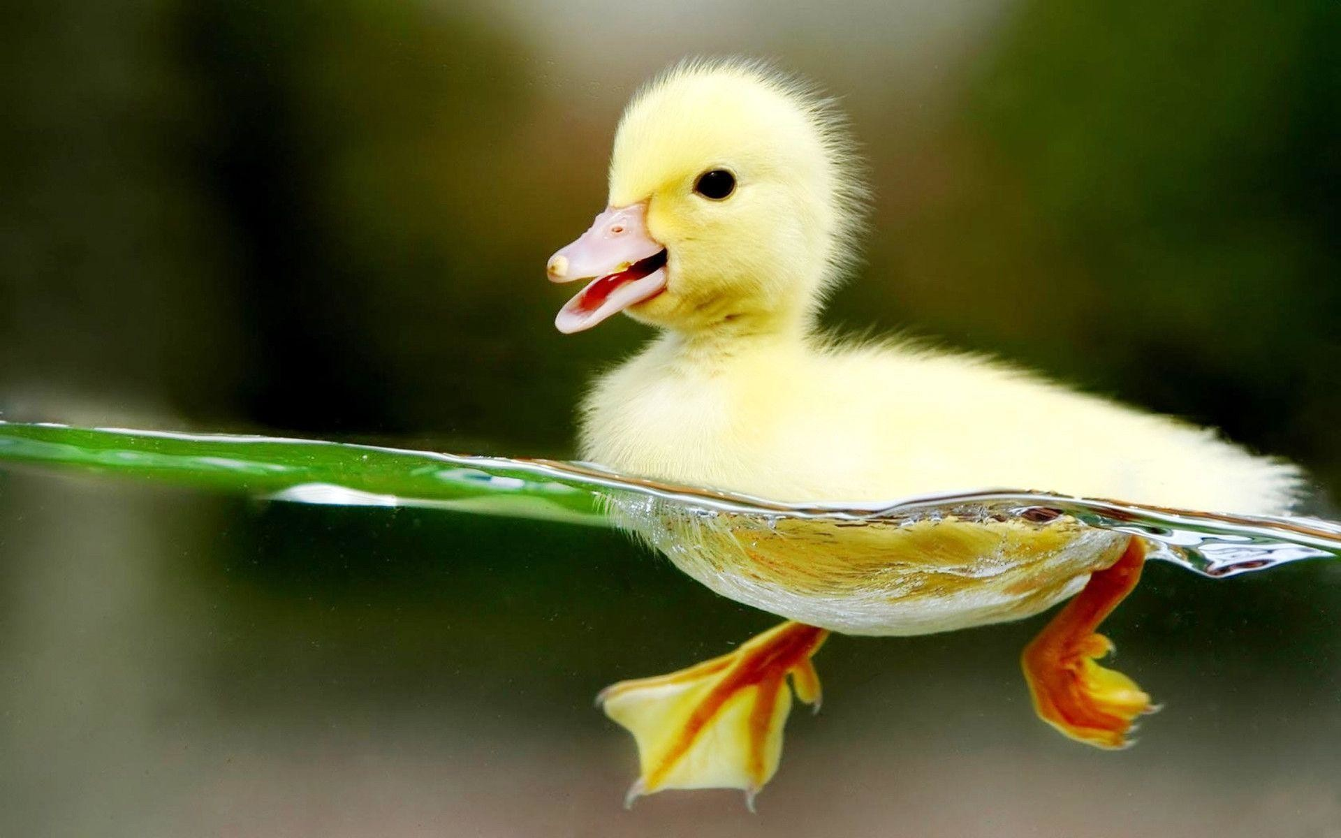 Res: 1920x1200, Baby Duck Swimming Hd Wallpapers - HD Wallpapers Inn
