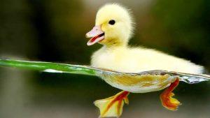 Baby Duck wallpapers
