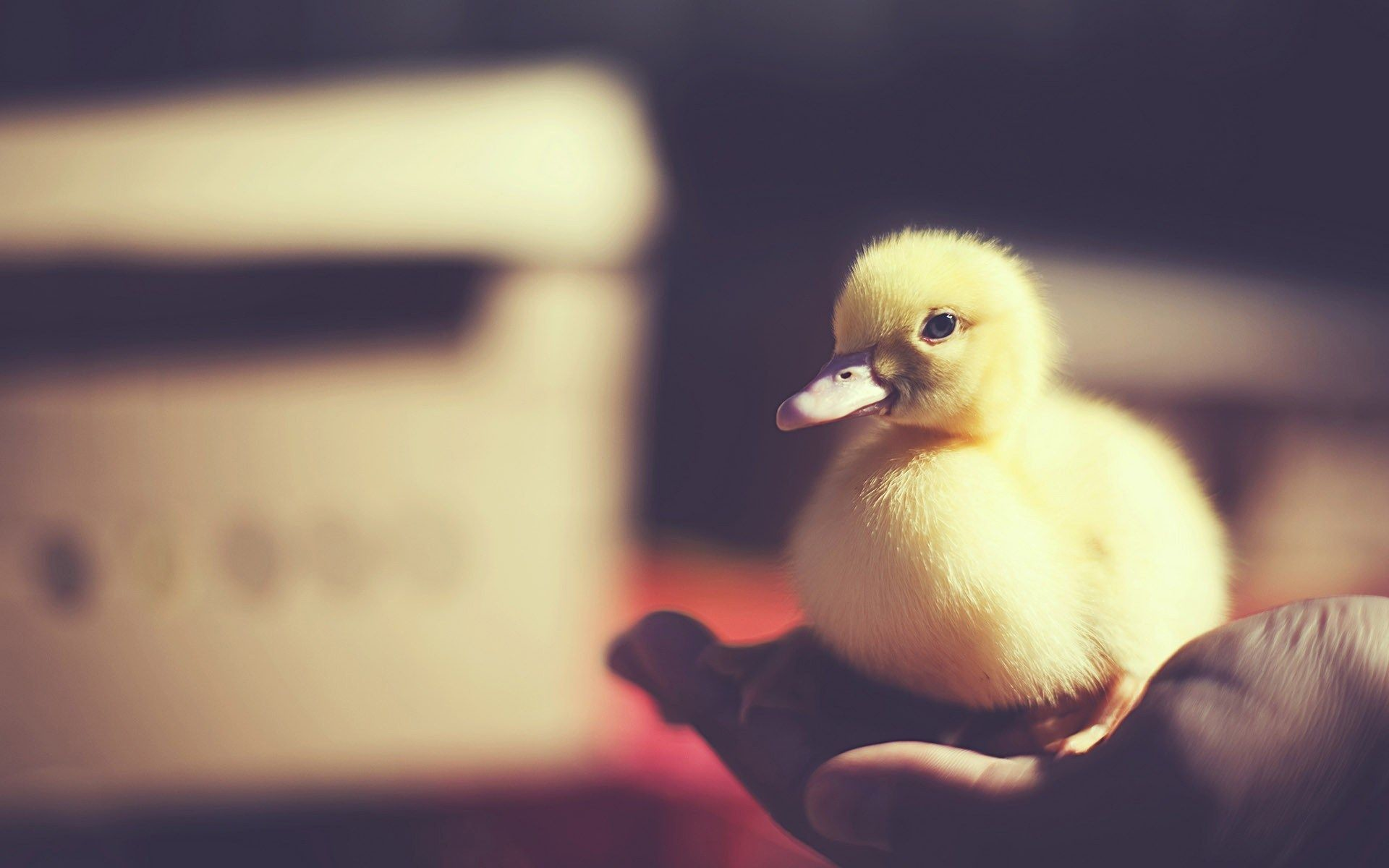 Res: 1920x1200, Baby Duck Wallpapers