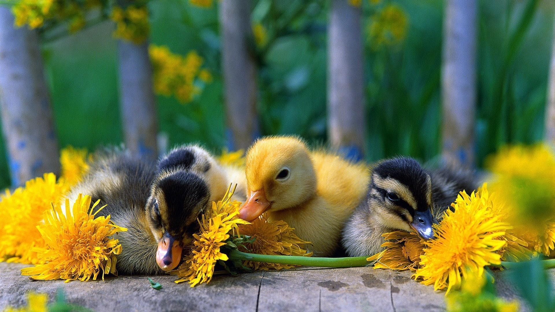 Res: 1920x1080, Baby Duck Wallpapers 37