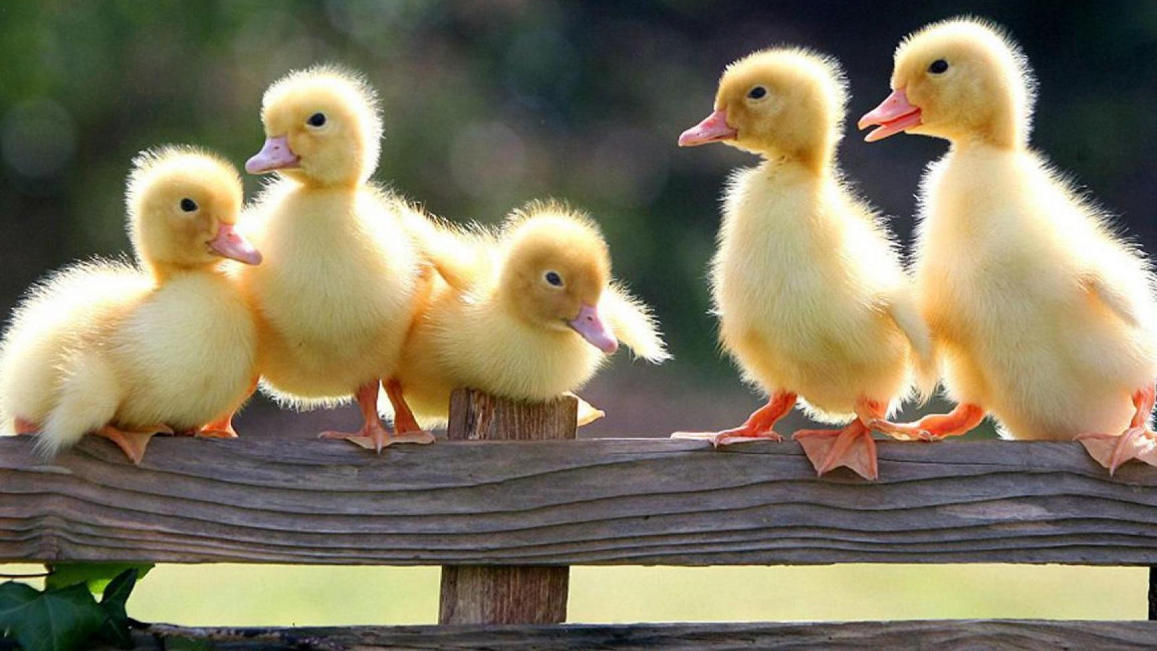 Res: 3840x2160, Cute Baby Ducks Wallpaper