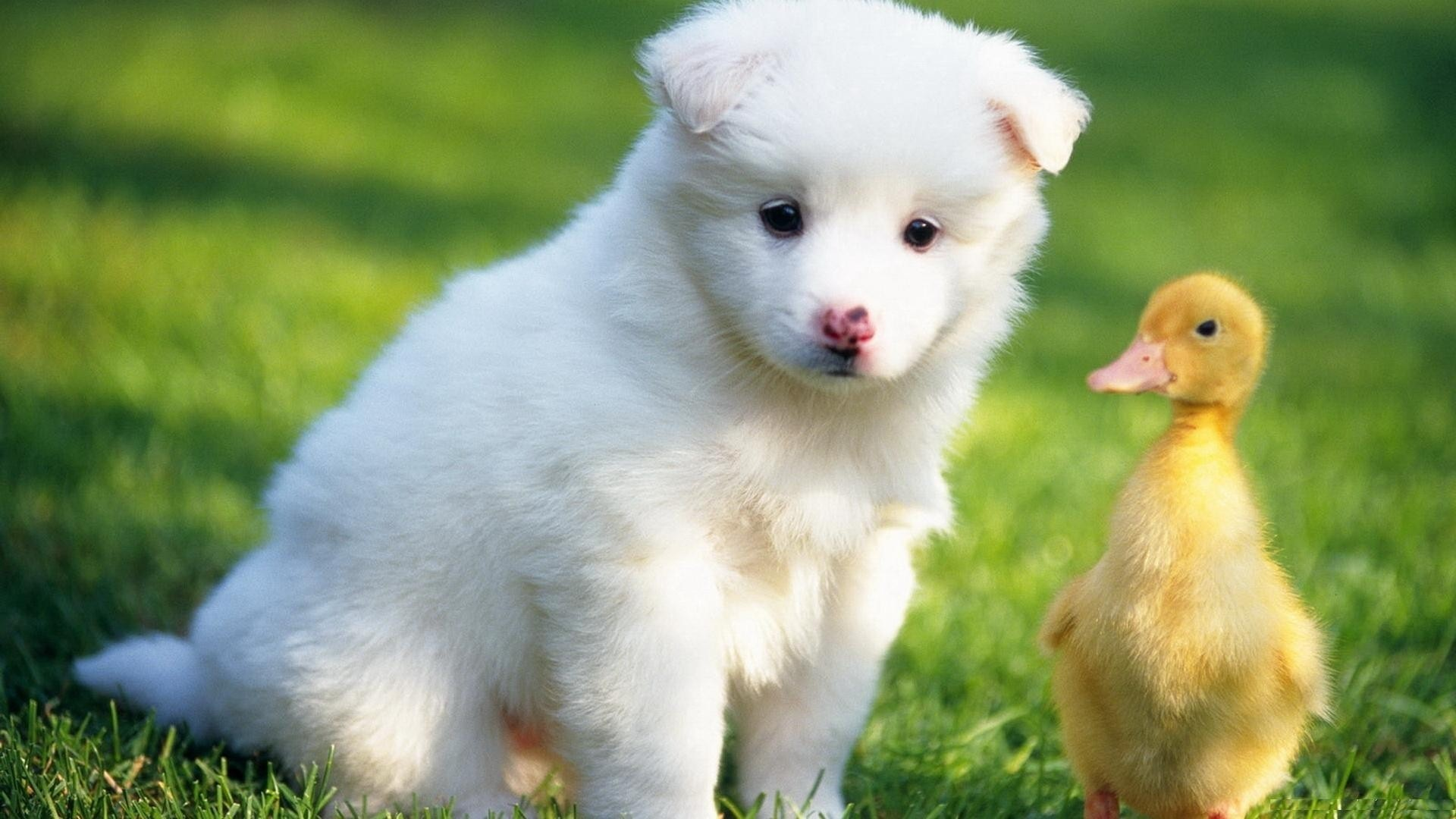 Res: 1920x1080, Baby Duck With White Puppy HD Cute Animals Wallpaper