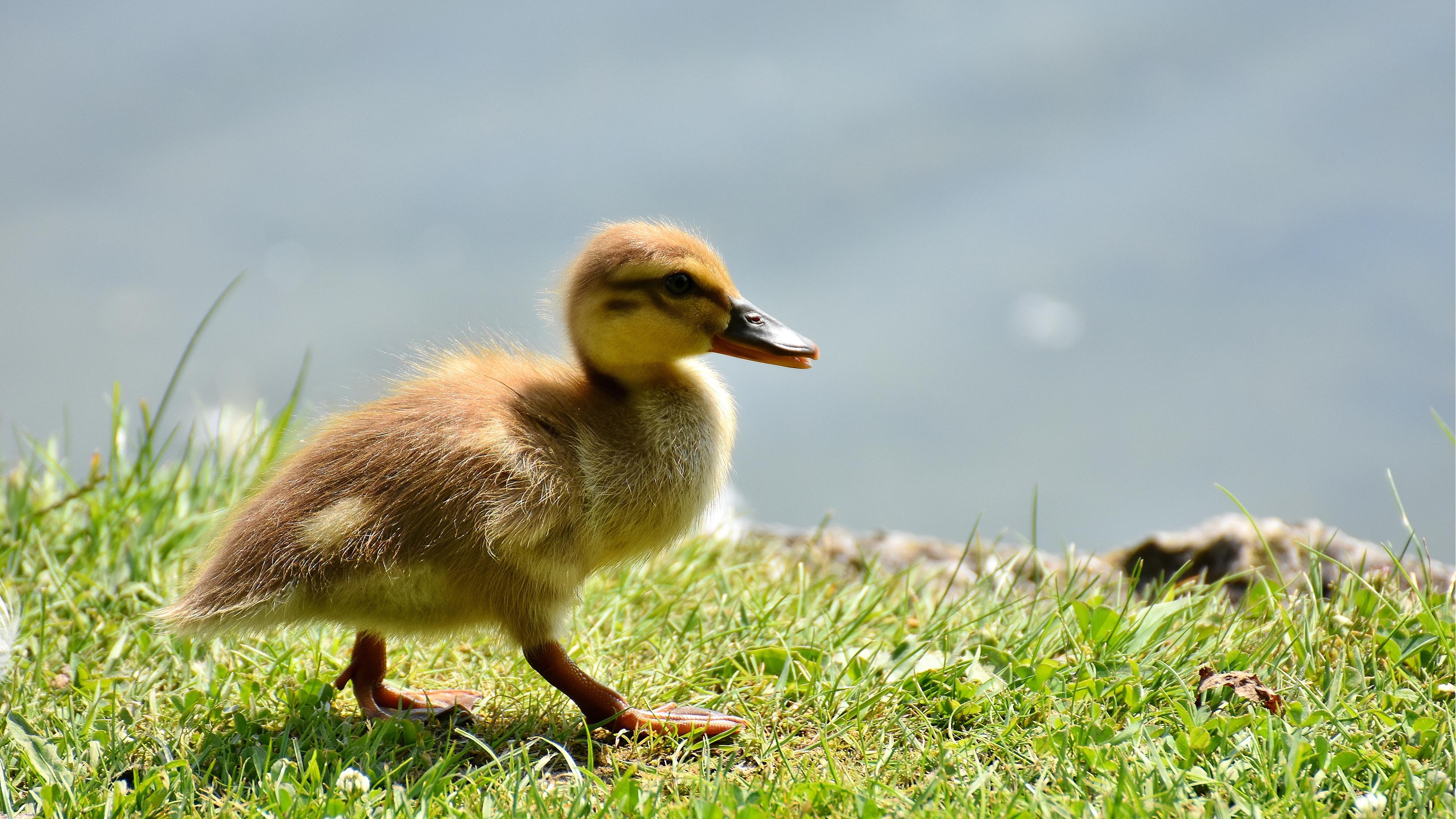 Res: 3840x2160, Little Baby Duck ChromeBook Wallpaper