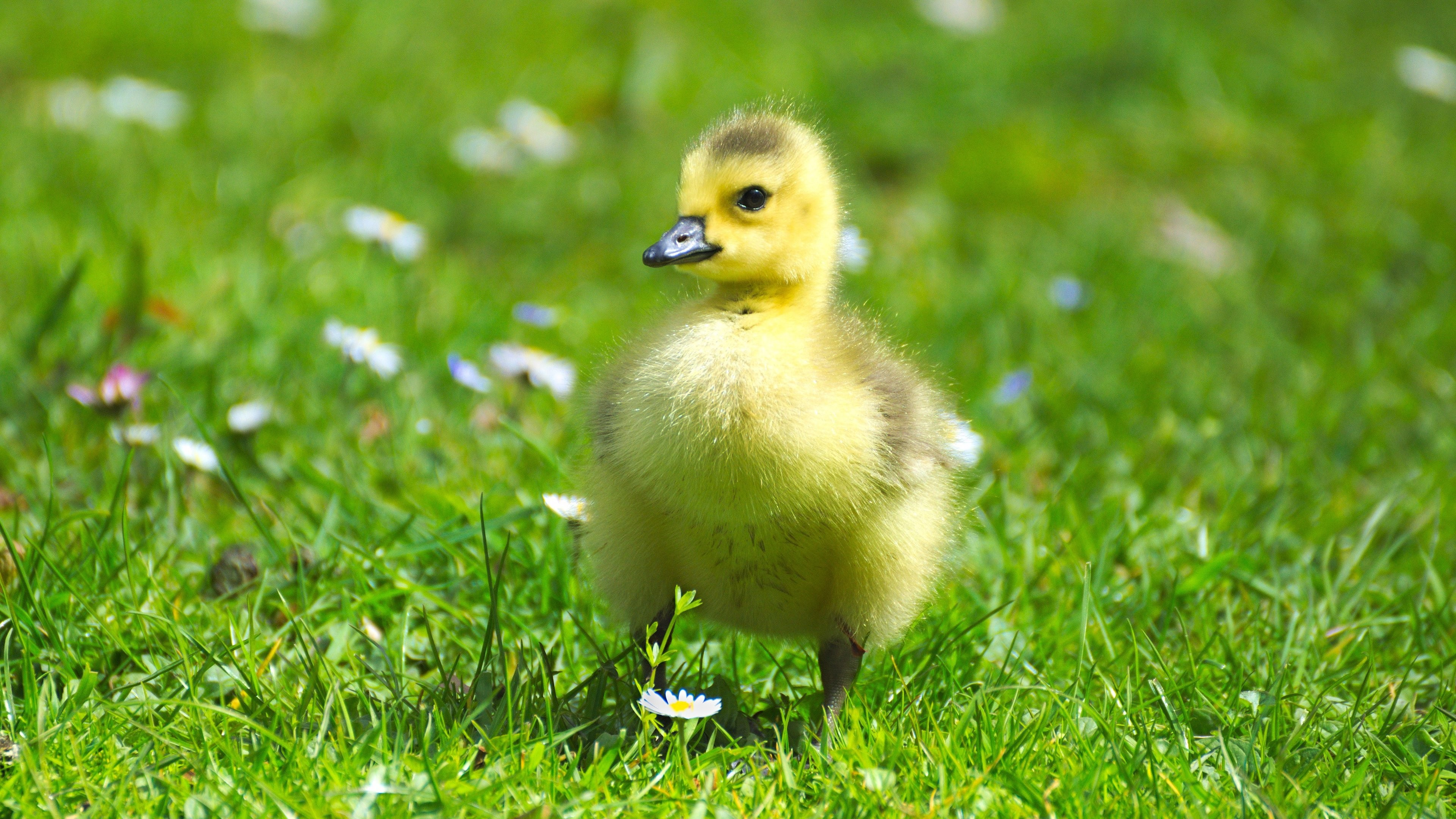 Res: 3840x2160, Fluffy Baby Goose