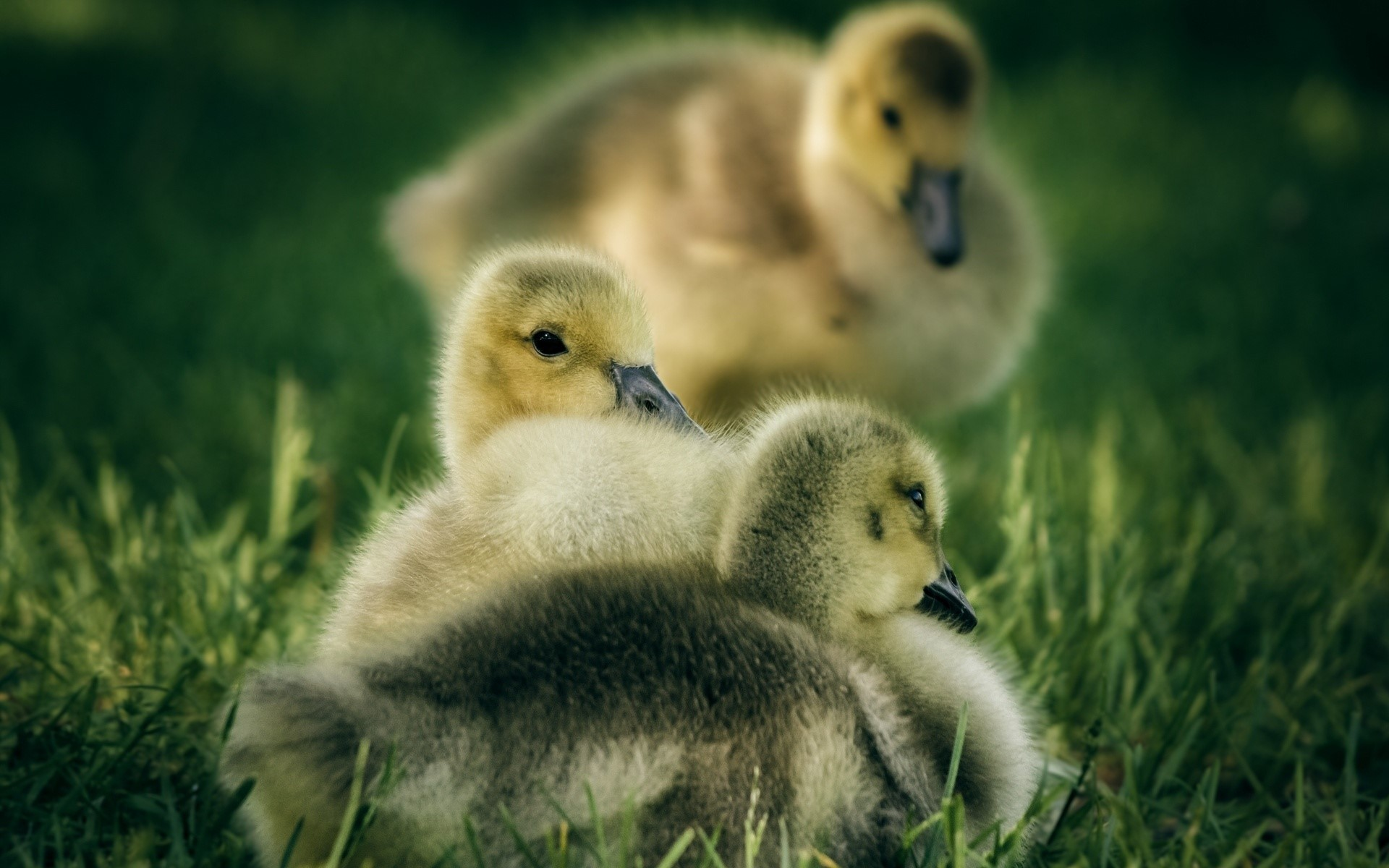 Res: 1920x1200, Beautiful Cute Baby Duck Playing in Garden HD Images | HD Famous Wallpapers