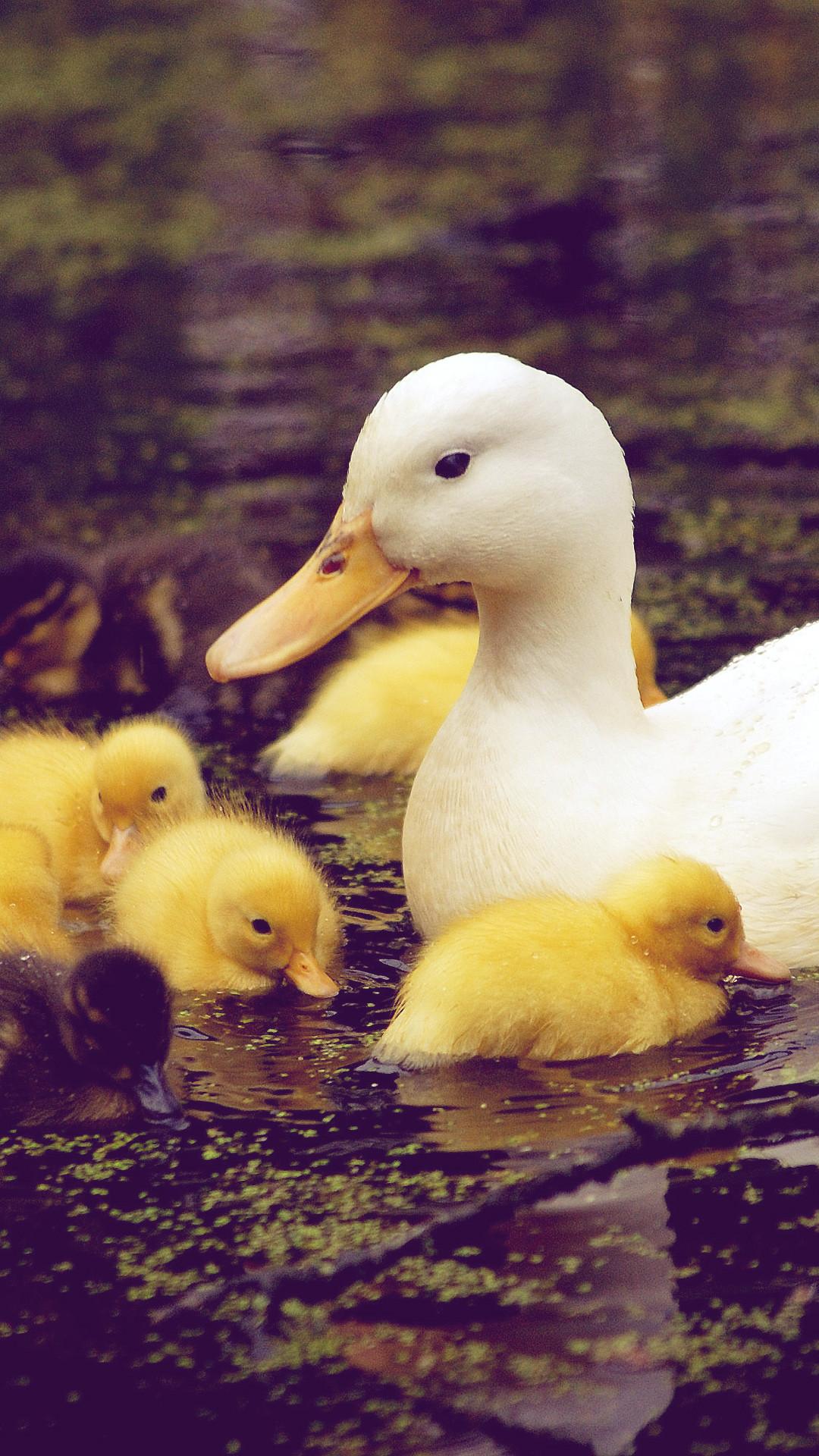 Res: 1080x1920, Download Baby Duck Download Wallpaper. iPhone 6 (750x1134) · iPhone 6+  () ...