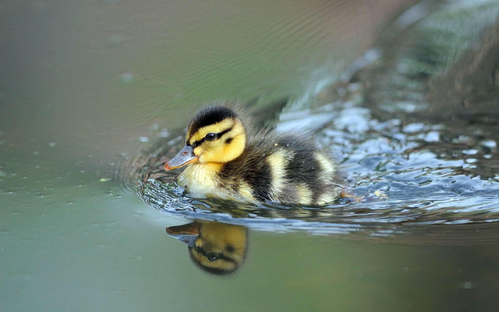 Res: 1920x1200, Animal - Duck Wallpaper