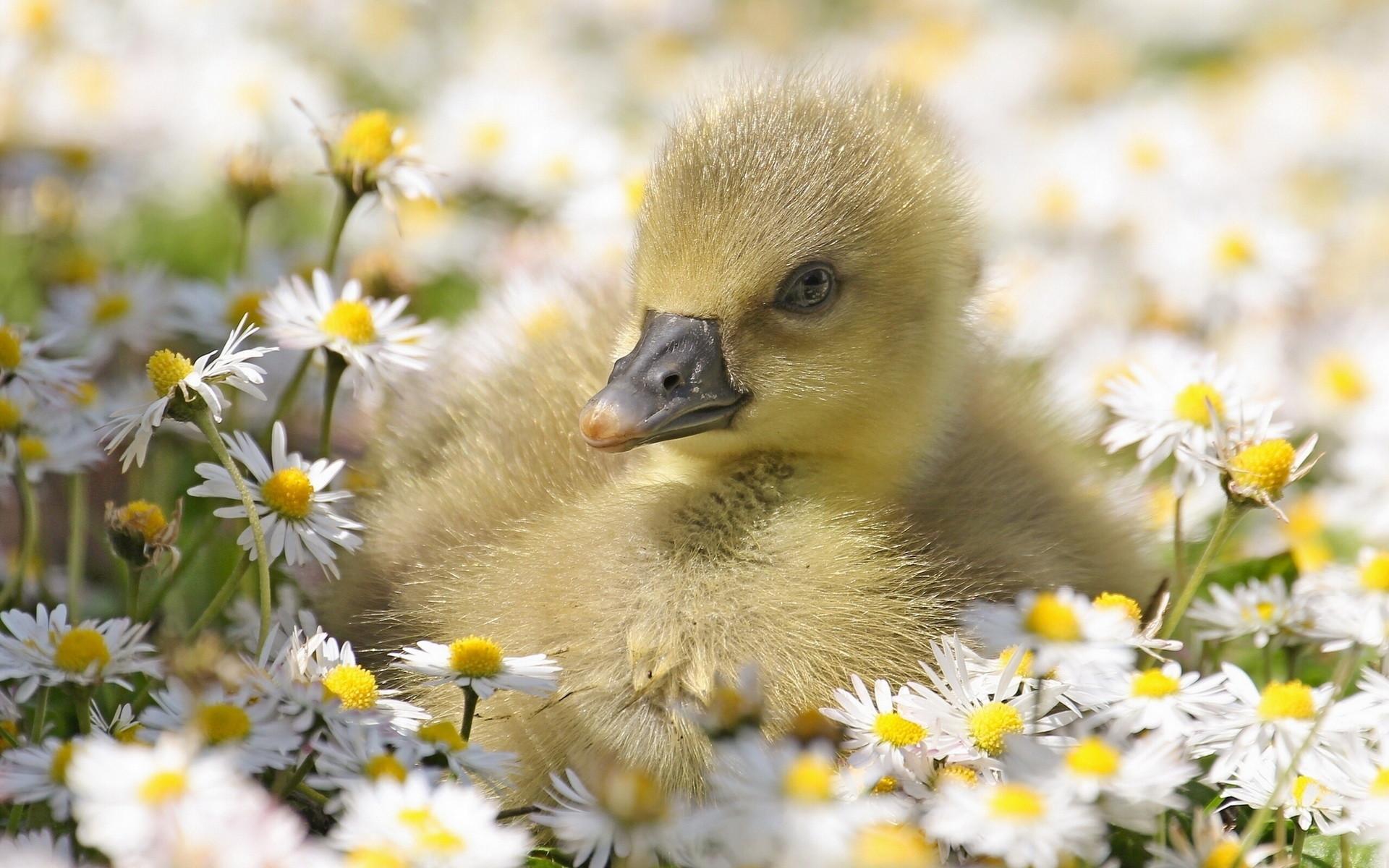 Res: 1920x1200, Baby Duck Wallpaper 55+