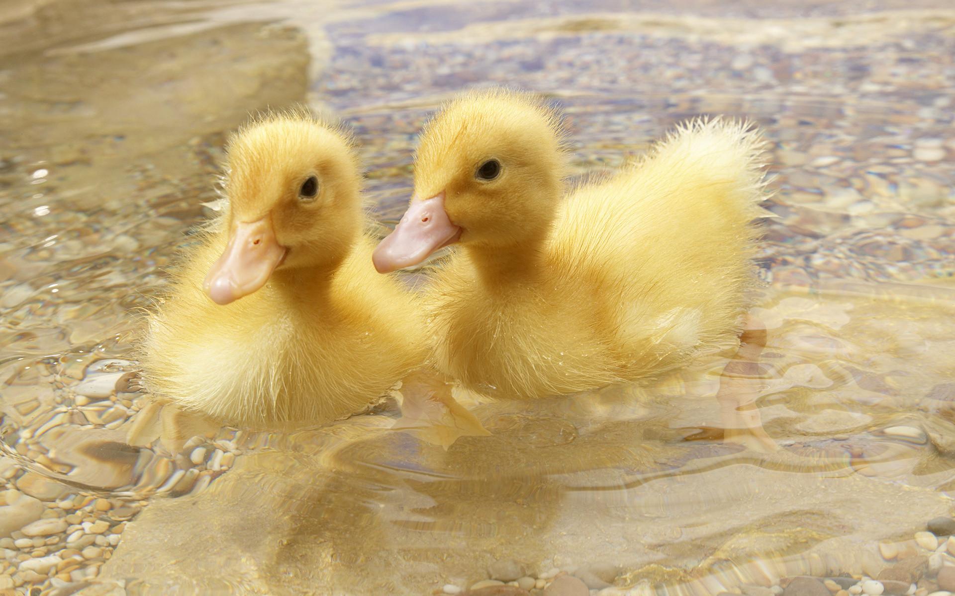 Res: 1920x1200, Baby Ducks HD Wallpaper