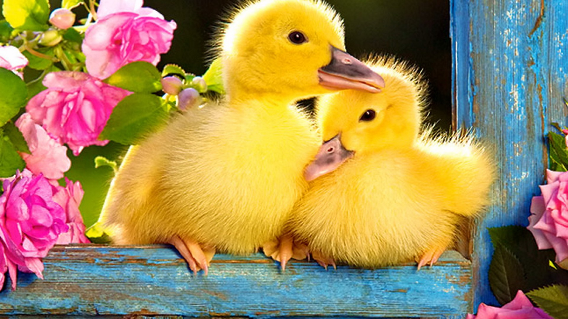 Res: 1920x1080, Baby Duck image & Wallpapers