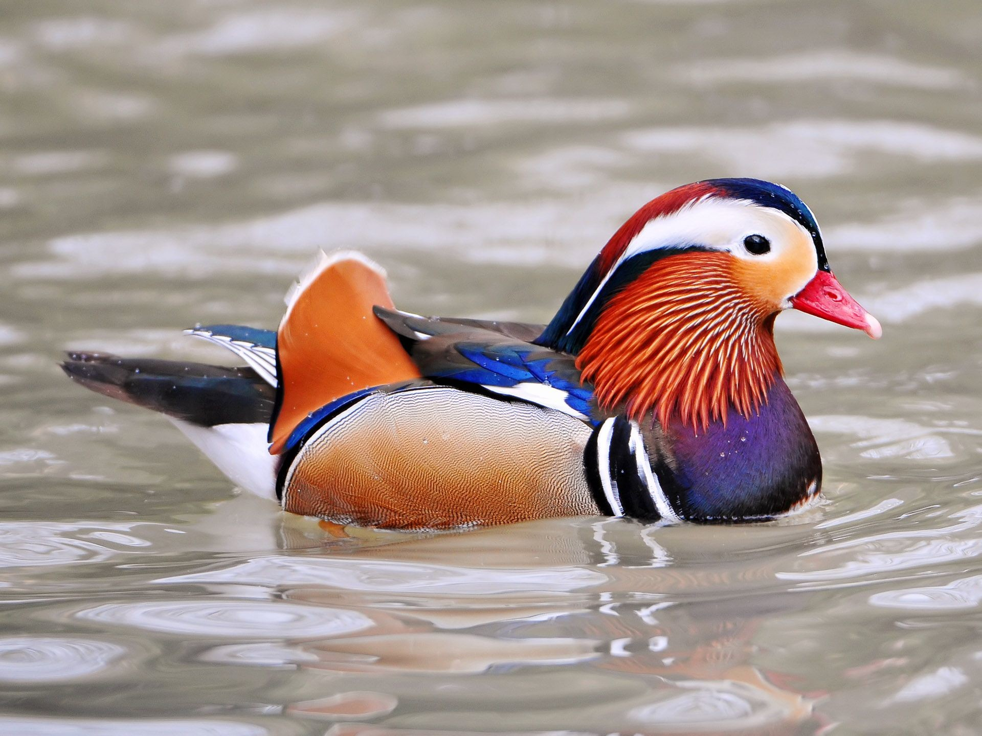Res: 1920x1440, Duck Wallpapers 45 2016 Wallpaper S Archive Fantastic Pictures