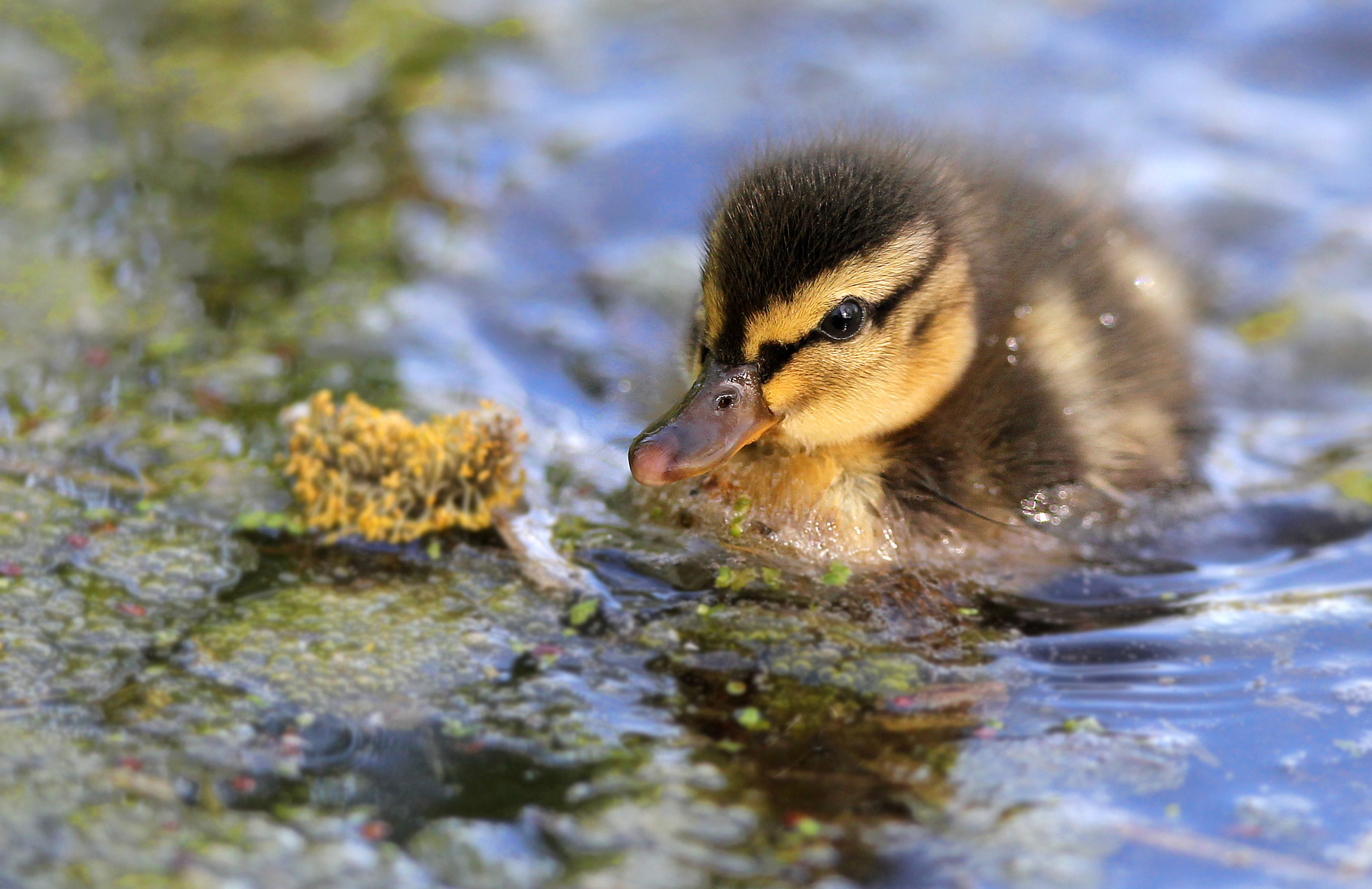Res: 2048x1327, Tiere - Ente See Wasser Natur Süß Wallpaper
