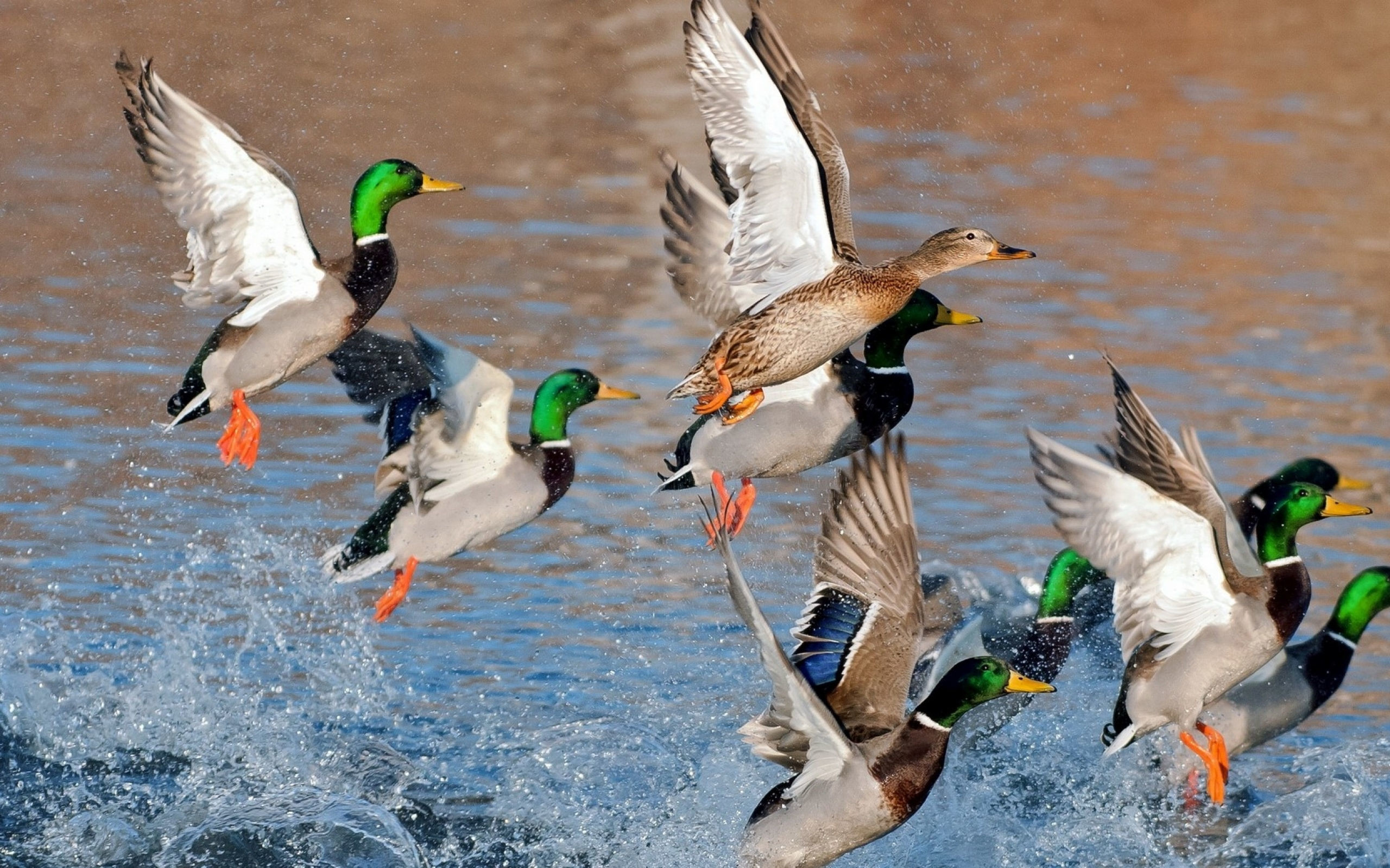 Res: 2560x1600, Mallard Duck Wallpaper 8513