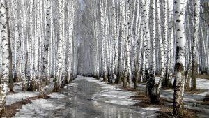Birch Tree wallpapers
