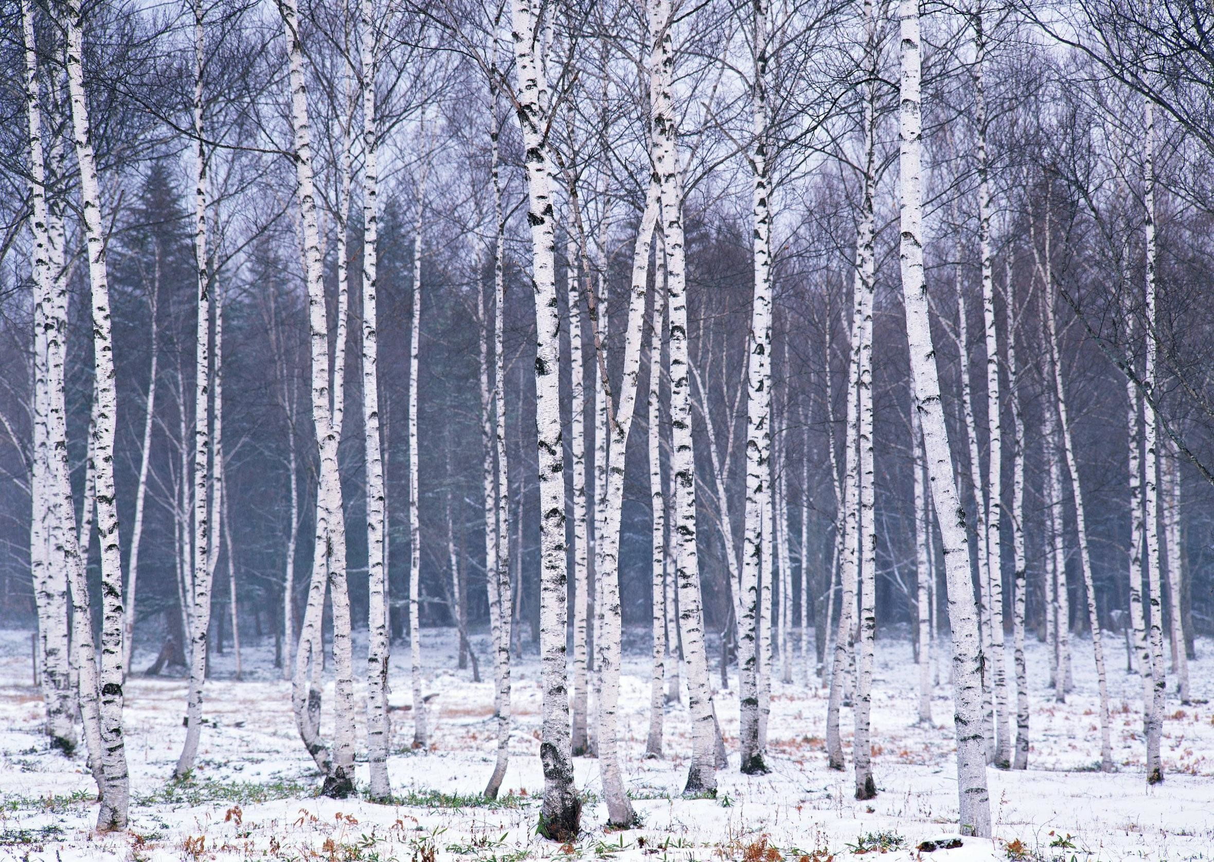 Res: 2360x1675, Birch Tree Wallpapers.