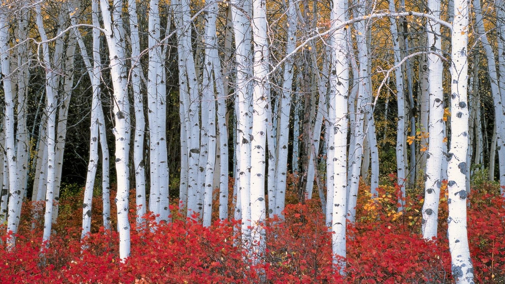 Res: 1920x1080, top 12 birch tree wallpaper