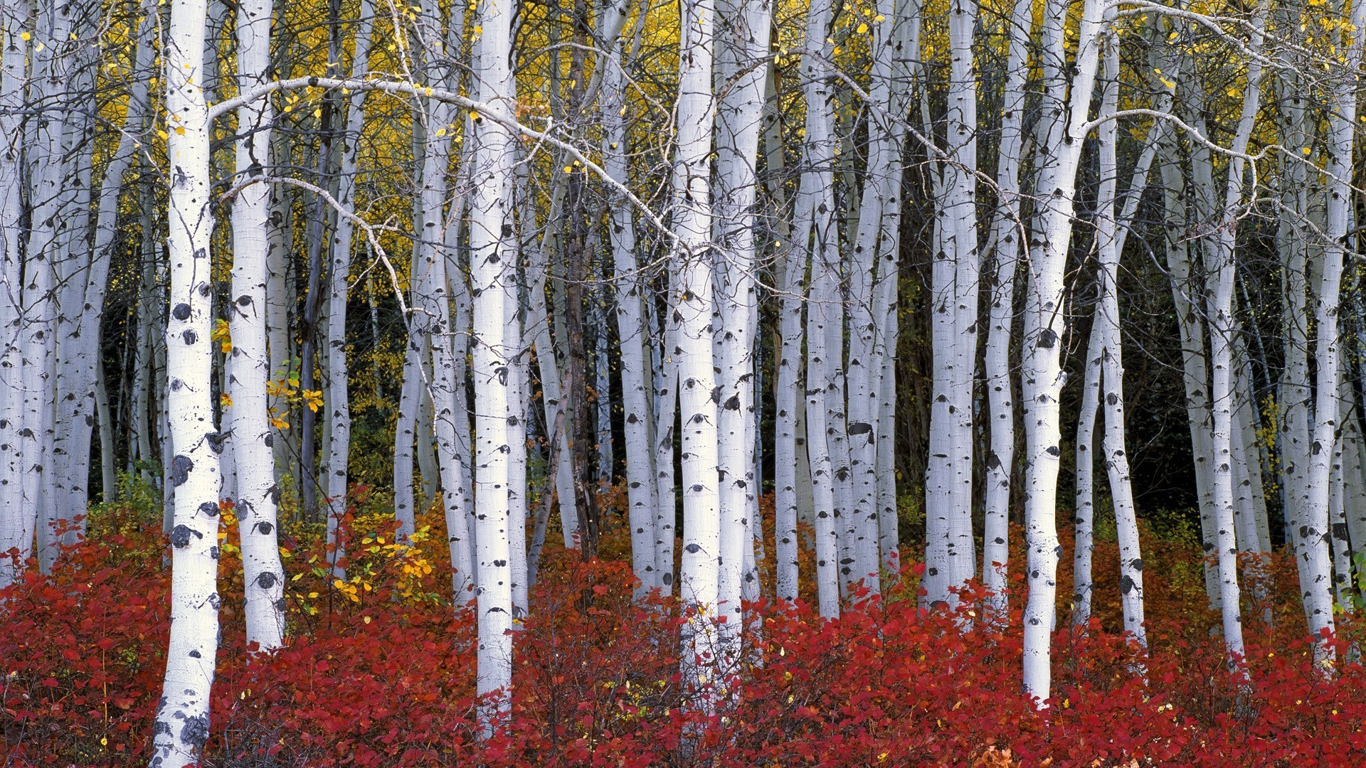 Res: 1920x1080, Birch Forest Wallpaper Hd For Pc Nature Wood Trees Leaves Branch Fall