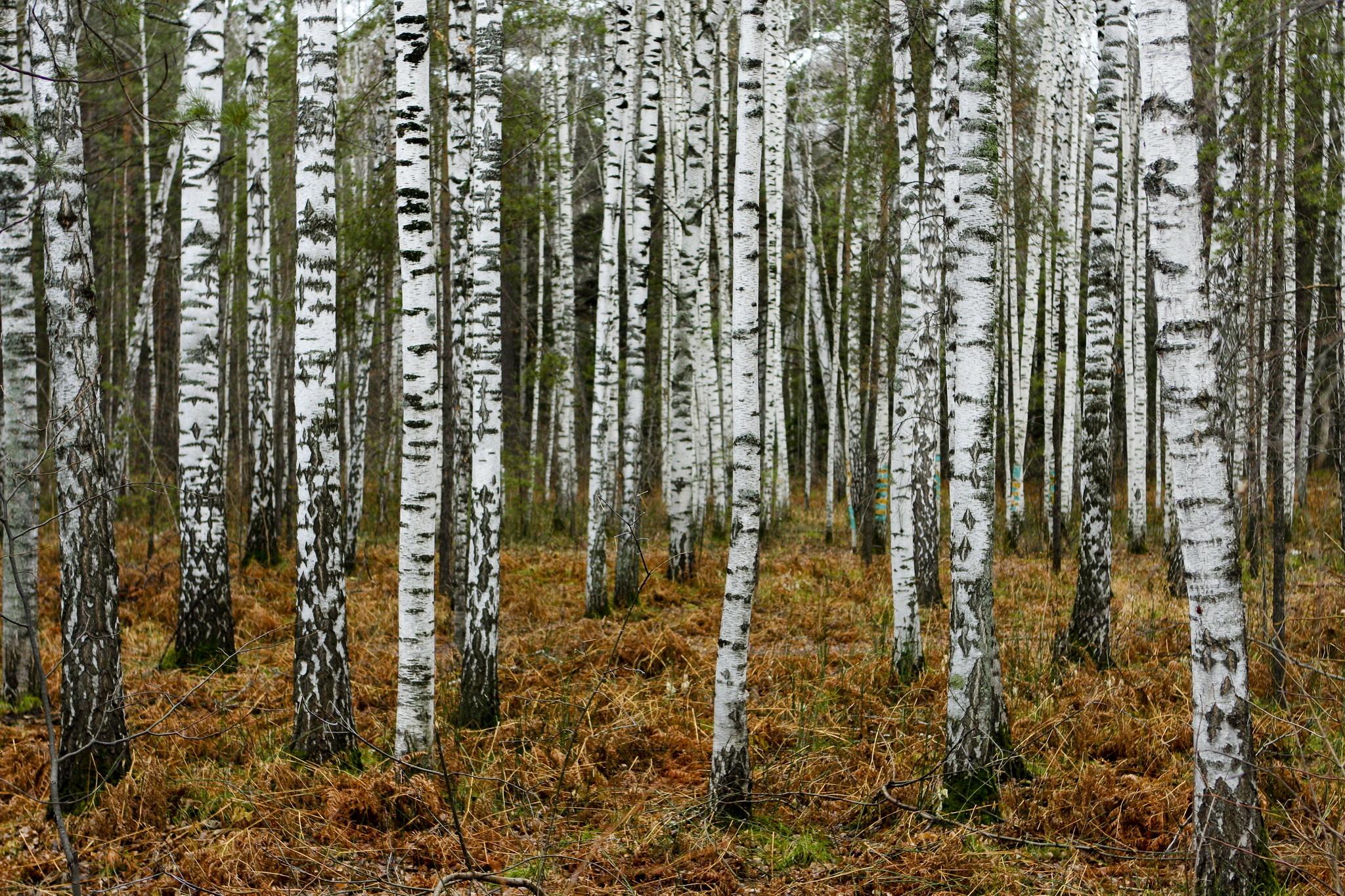 Res: 2048x1365, Birch Tree Wallpaper 25332