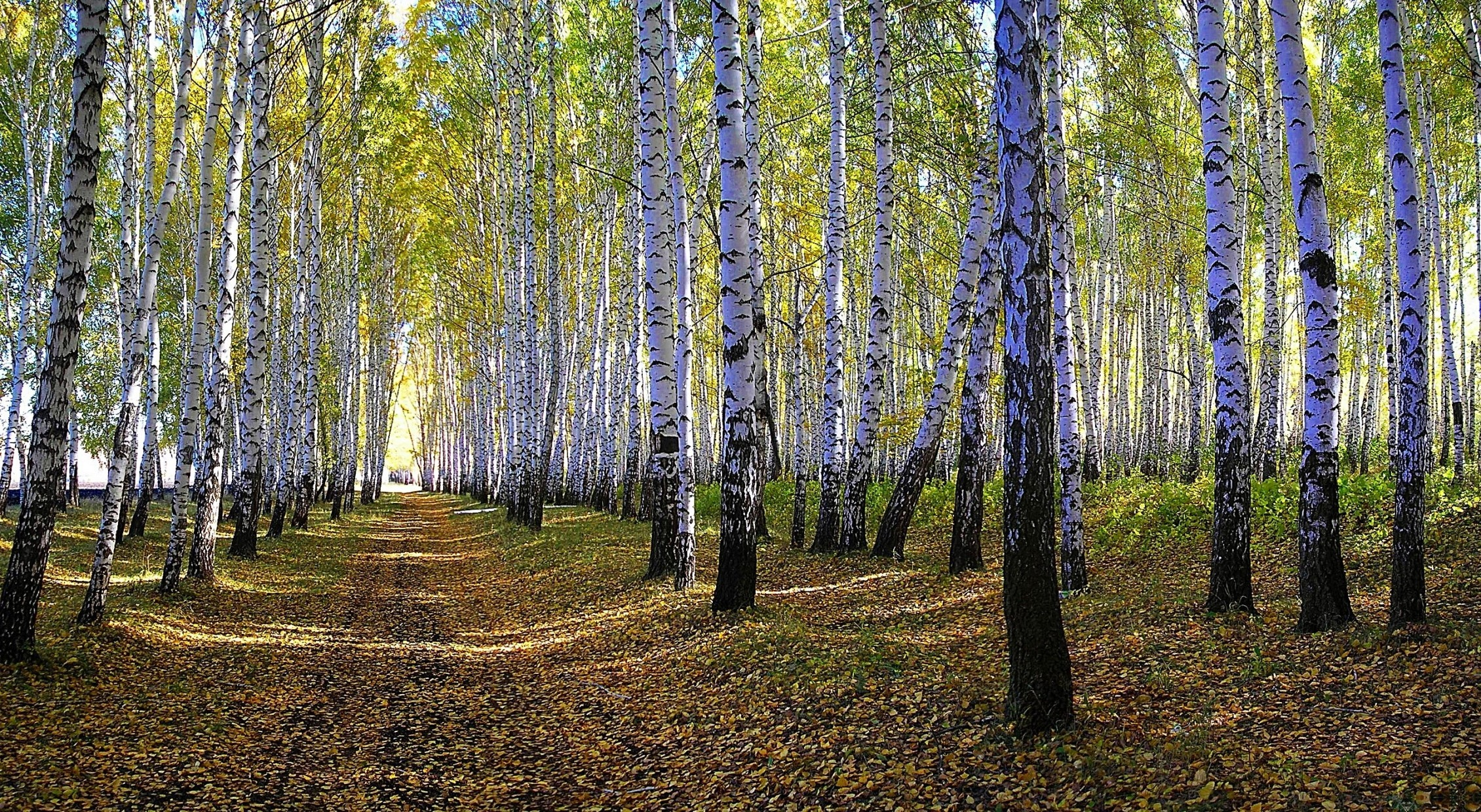 Res: 2260x1240, Birch Forest Nature Trees Tree Path Leaves Limbs White Birches Trunk Green  Grass Wallpaper New Leaf