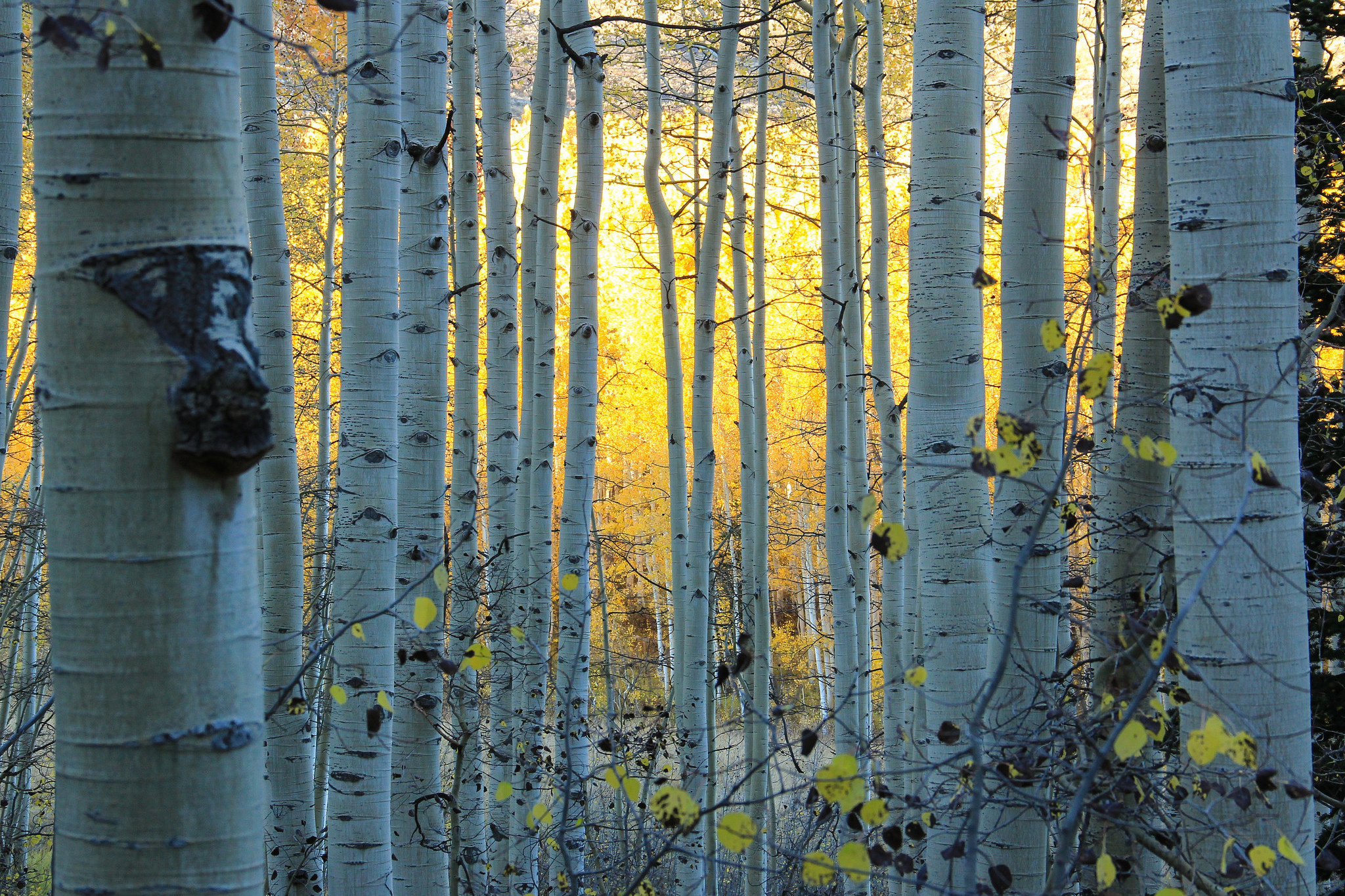Res: 2048x1365, Earth - Birch Earth Tree Forest Fall Colorado Wallpaper
