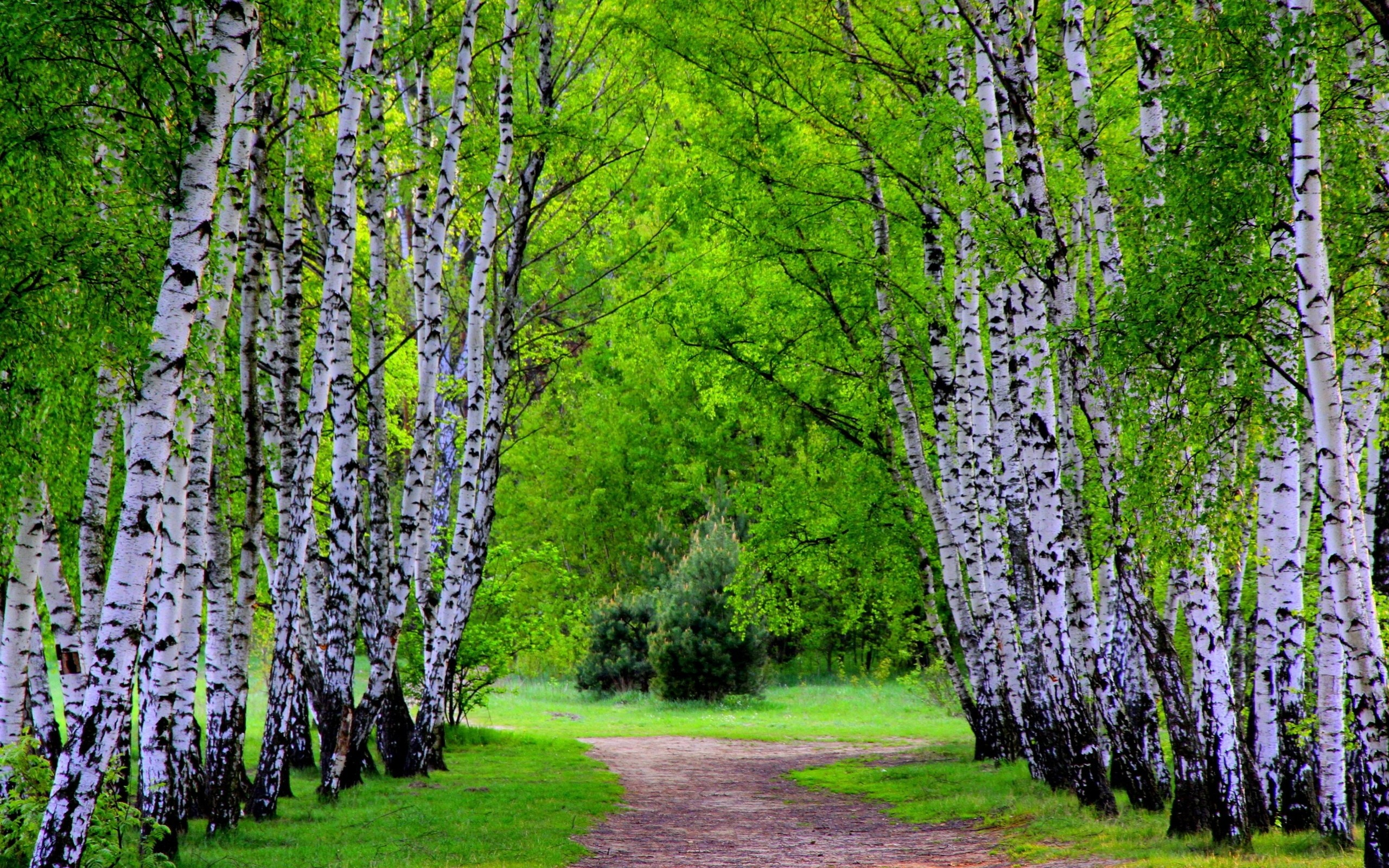 Res: 2560x1600, Alley of birch trees