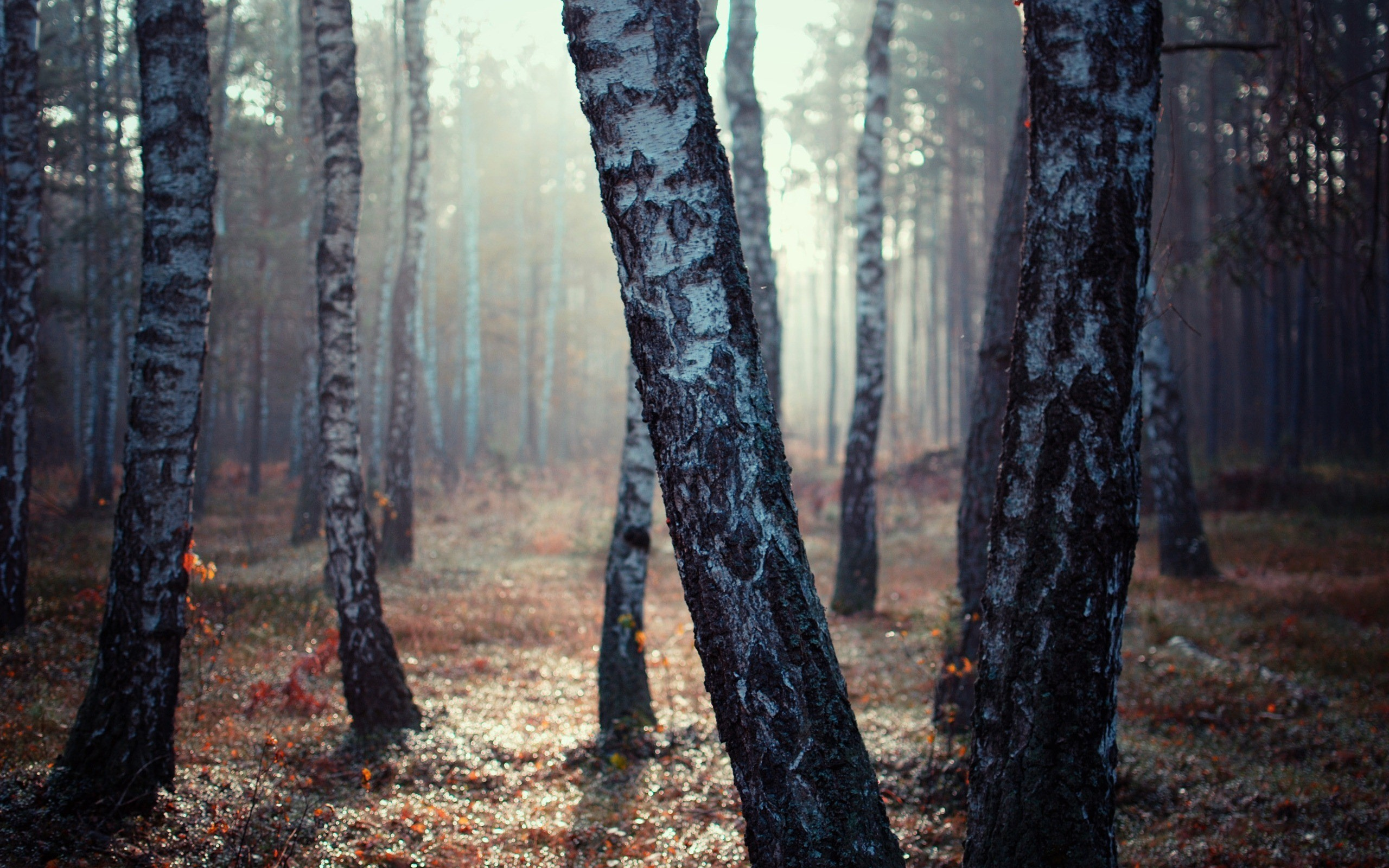Res: 2560x1600, Birch Tree Forest | 2560 x 1600 | Download | Close