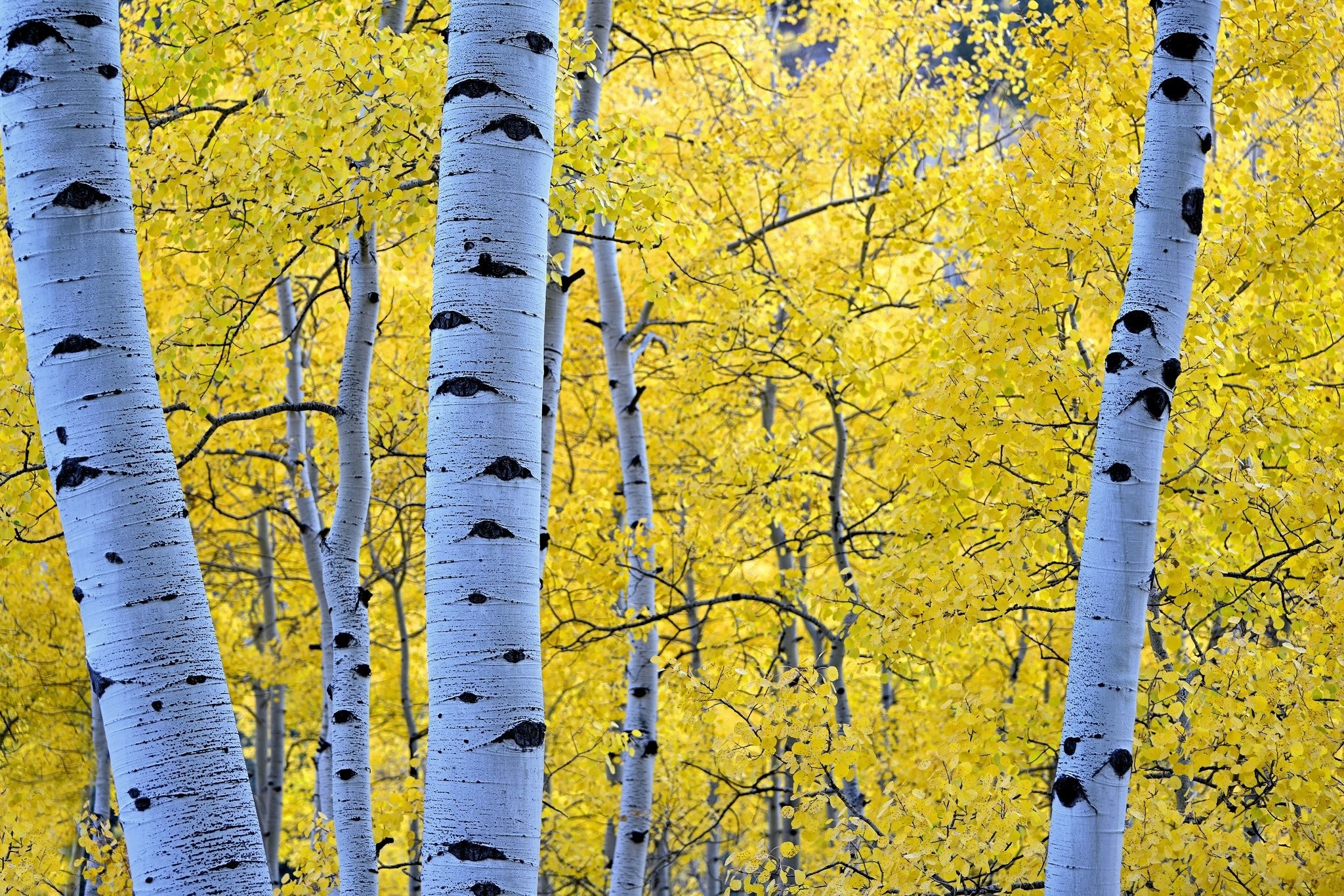 Res: 2048x1366, Autumn Seasons Trunk tree Branches Foliage Birch Nature forest wallpaper |   | 599130 | WallpaperUP