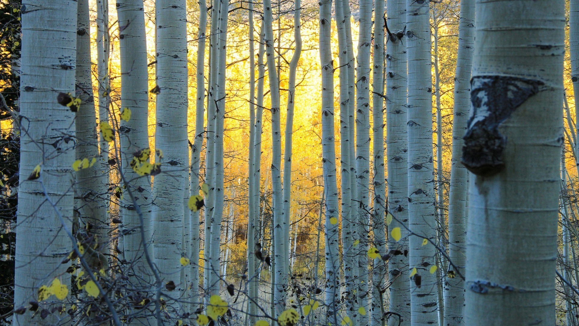 Res: 1920x1080, nature, Trees, Forest, Sun, Sunlight, Leaves, Branch, Colorado, USA, Birch  Wallpapers HD / Desktop and Mobile Backgrounds