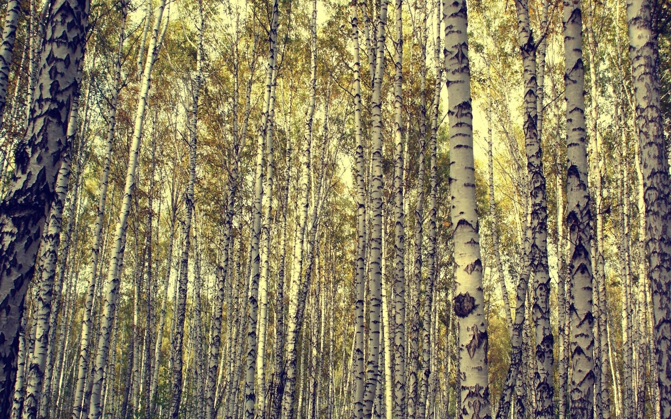 Res: 2560x1600, birch forest 900624