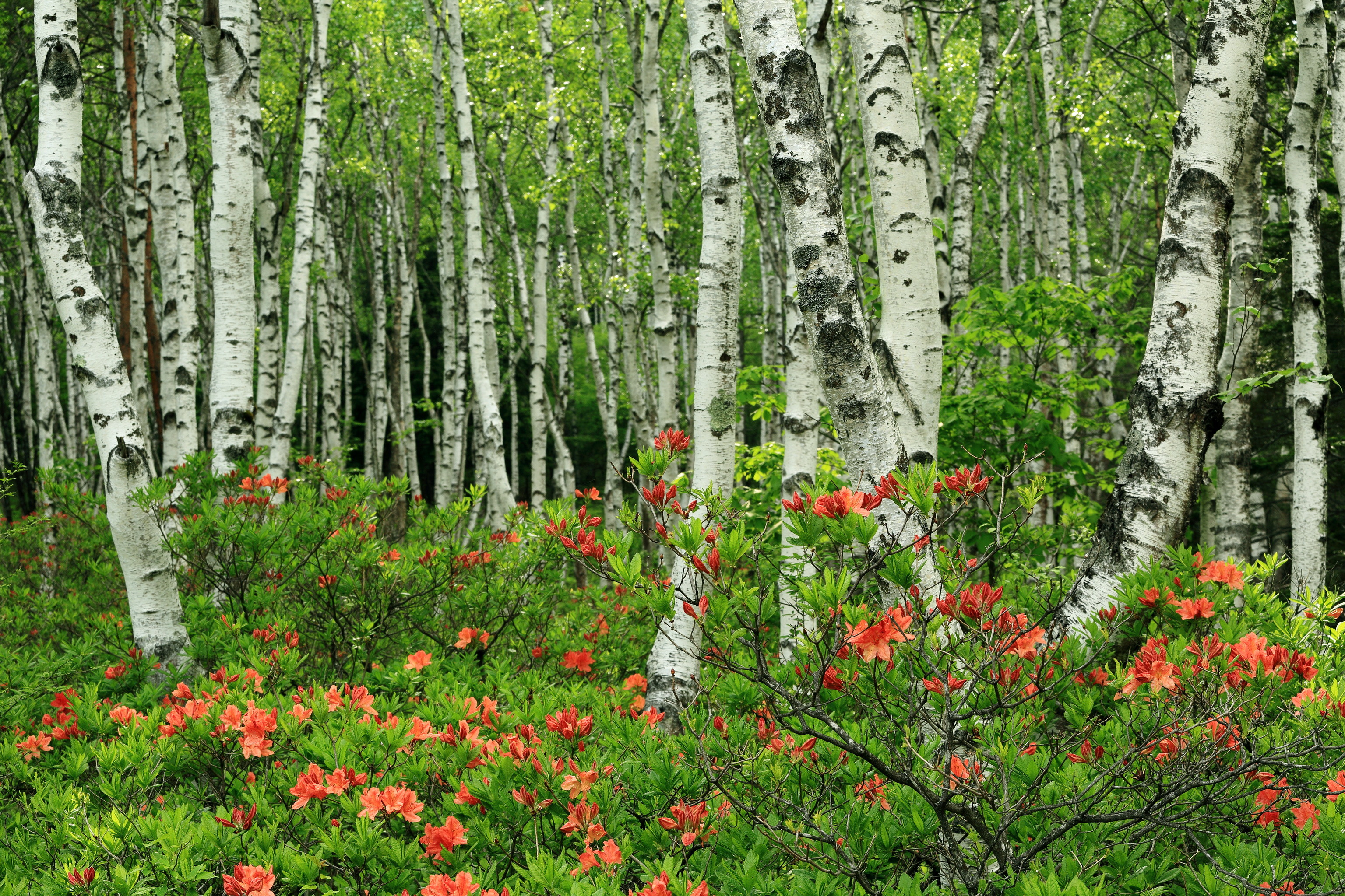 Res: 3072x2048, Forests Japan Birch Trees Nature wallpaper |  | 119680 |  WallpaperUP