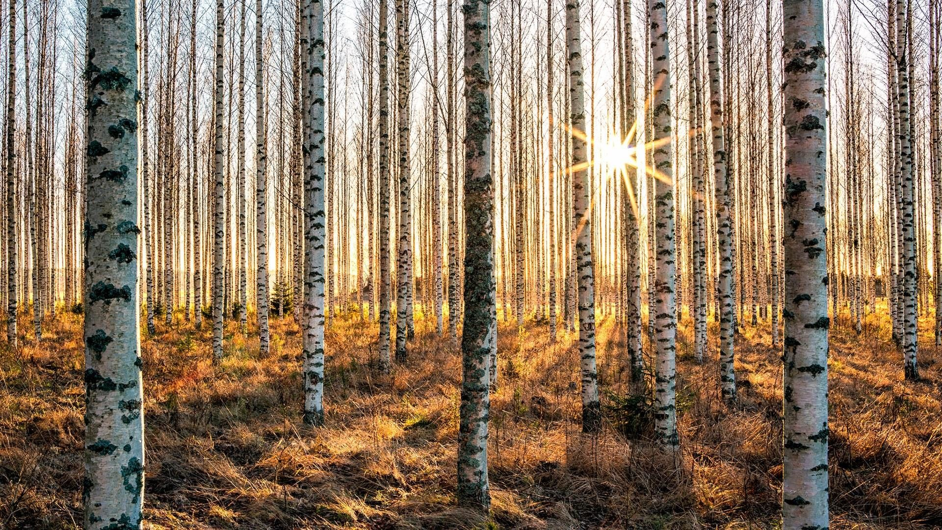 Res: 1920x1080, Silver Birch Forest Wallpaper | Wallpaper Studio 10 | Tens of thousands HD  and UltraHD wallpapers for Android, Windows and Xbox