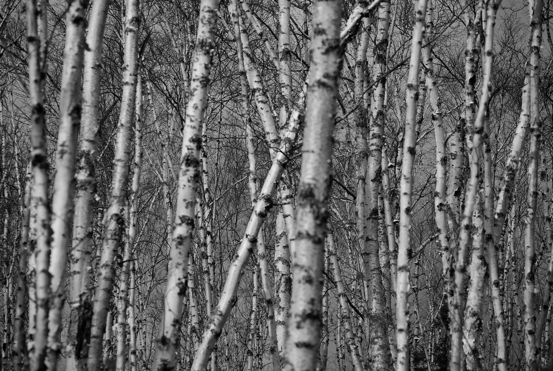 Res: 2896x1944, Lummy Birch Tree Wallpaper Deep Forest Xpx Birch Tree Wallpaper in Birch  Tree Wallpaper