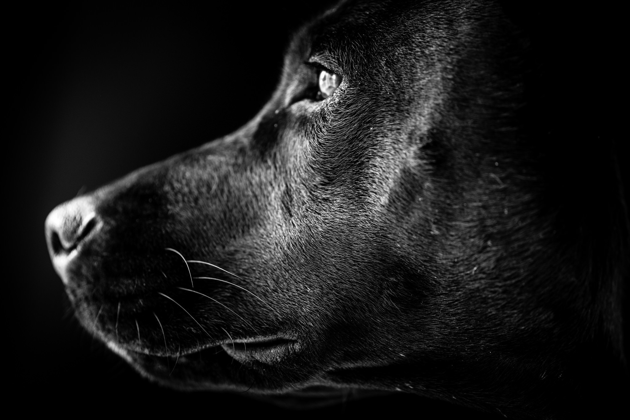 Res: 2048x1365, Black Dog Hd Wallpaper Avec Dogs Dog White Animal Black Portrait Labrador  Hd Wallpapers 1080p Idees