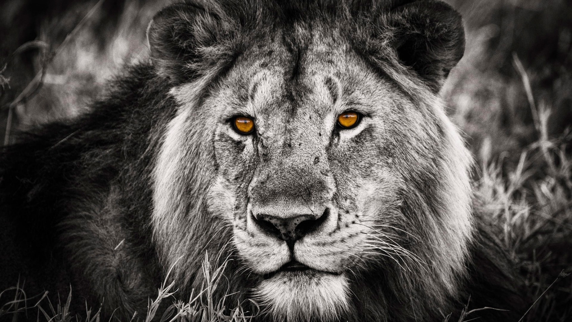 Res: 1920x1080, Black and White Lion Portrait for 1920 x 1080 HDTV 1080p resolution