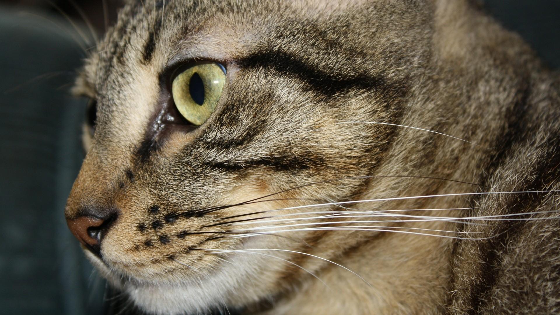 Res: 1920x1080, cats animals george real yellow eyes pets real life  wallpaper Art  HD Wallpaper