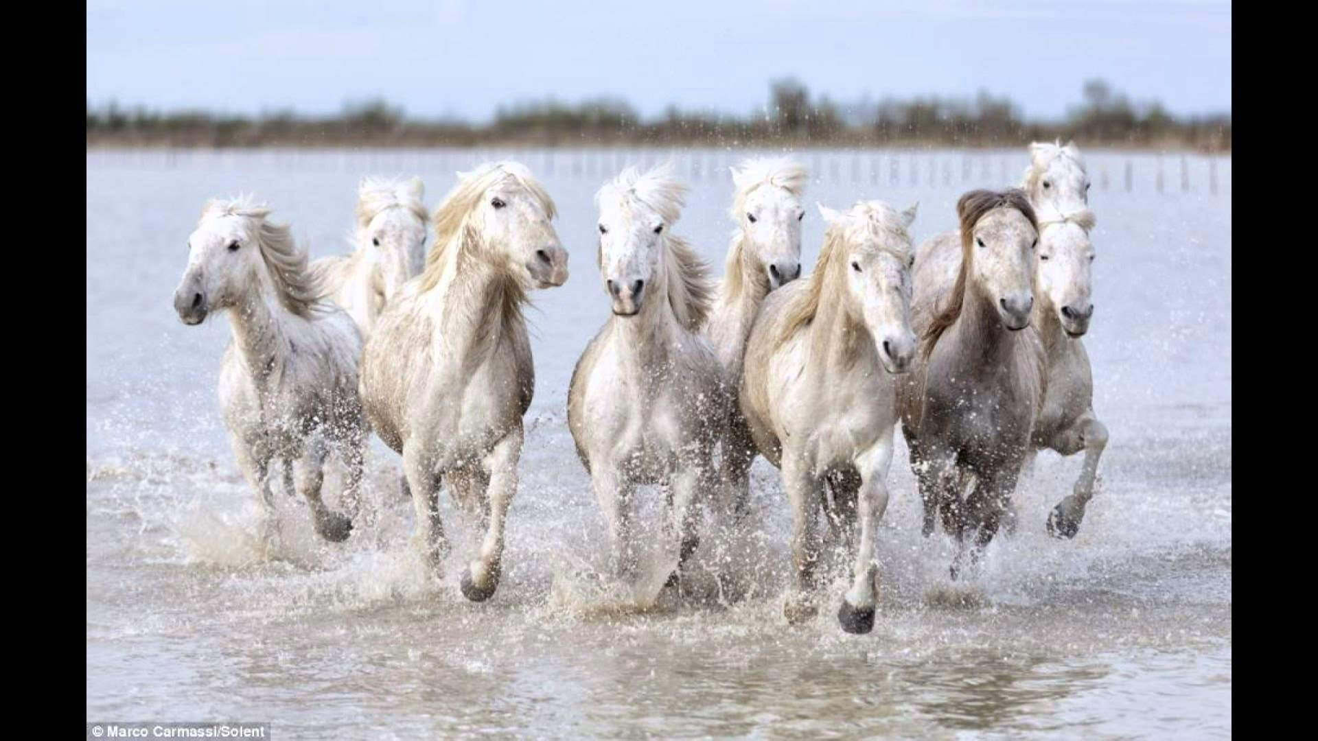 Res: 1920x1080, The real-life unicorns: Magical shots of wild white horses racing .