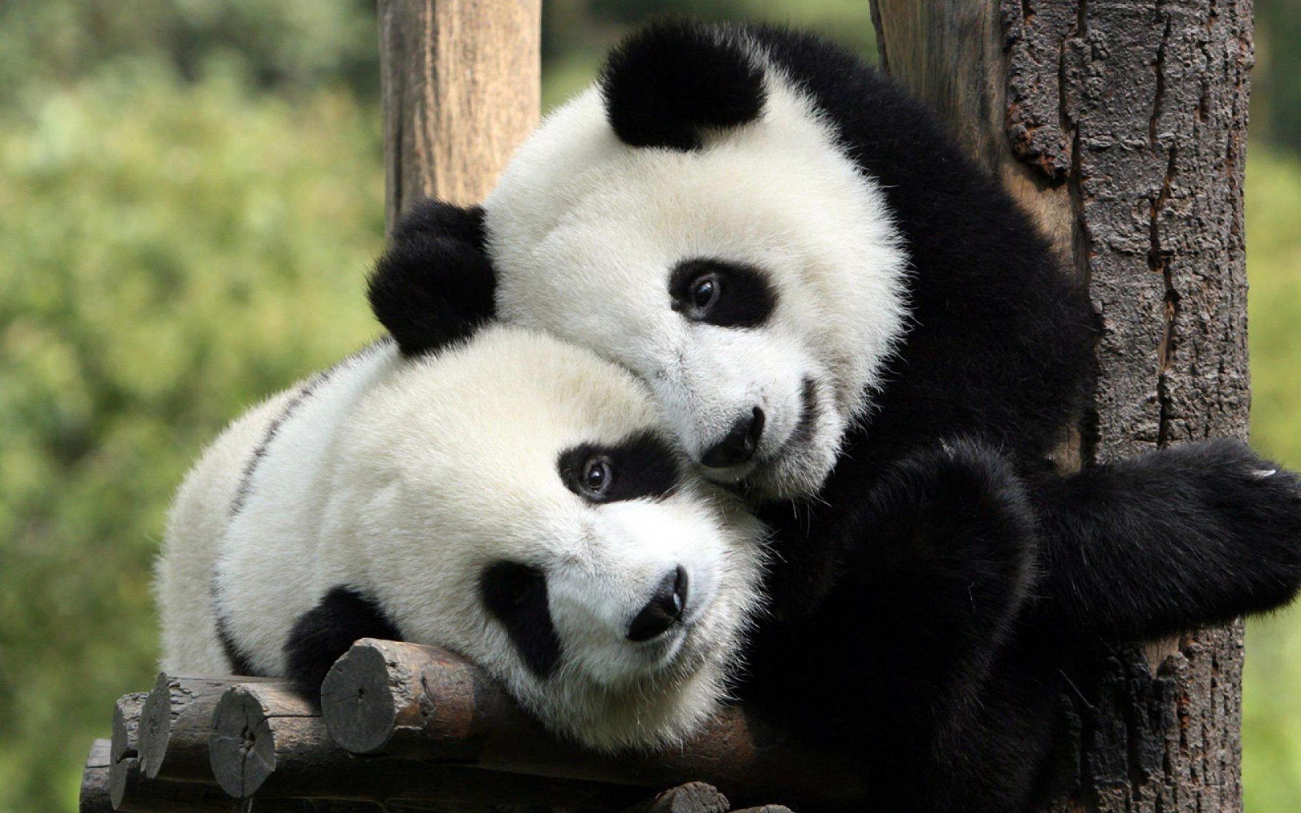 Res: 2560x1600, Panda Wallpapers Desktop Background