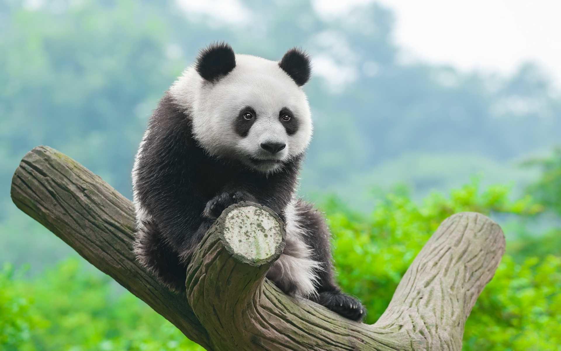 Res: 1920x1200, Panda Background On Wallpaper Hd 1920 x 1200 px 692.31 KB polar snow anime  cute baby